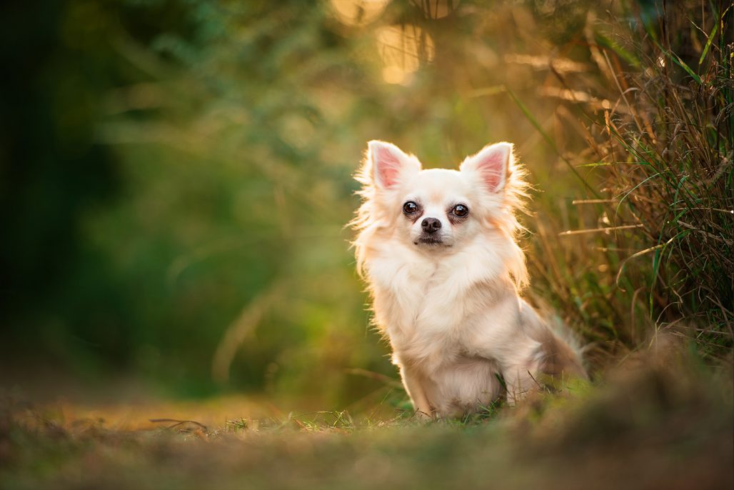 long haired chihuahua sitting in sunshine