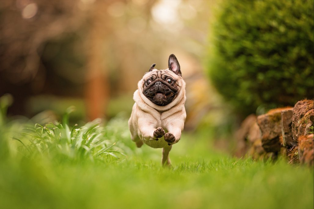 pug running through garden