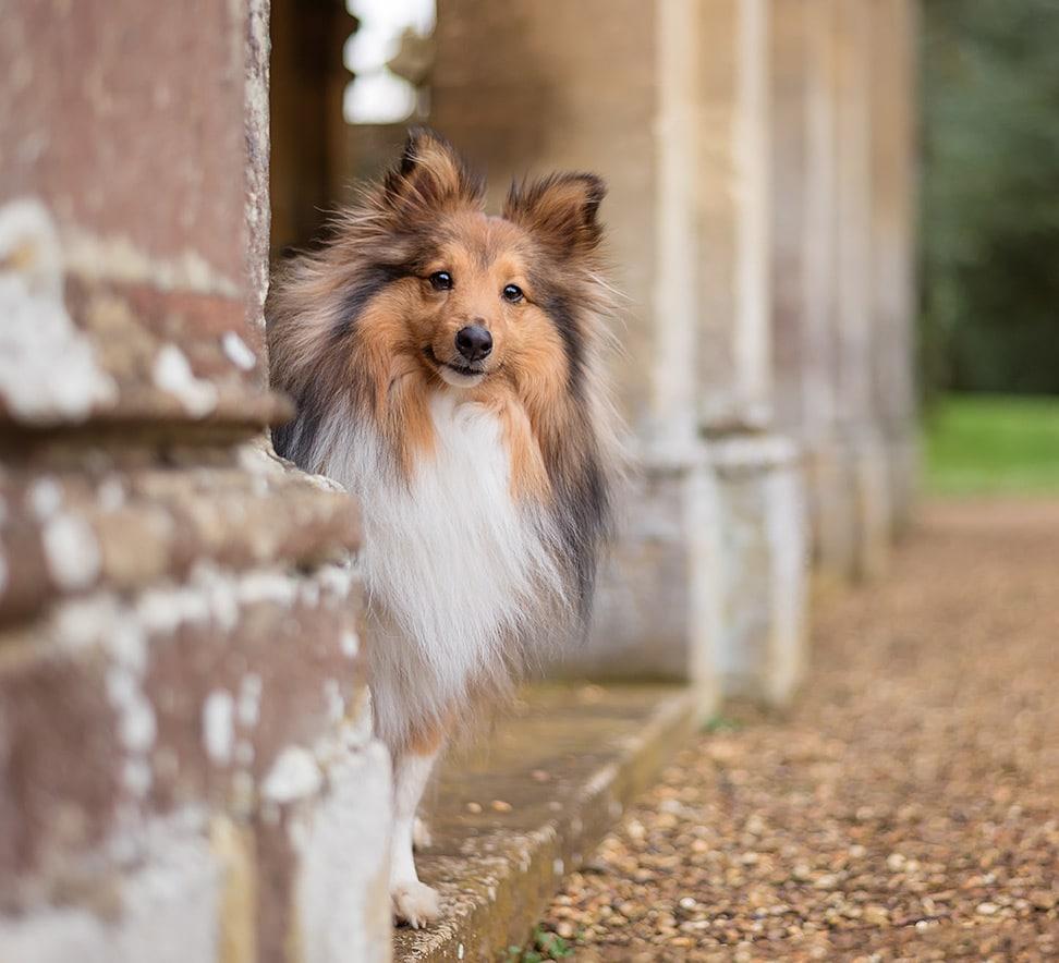 Shetland sheepdog hiding behind pillar at Castle Ashby Northamptonshire