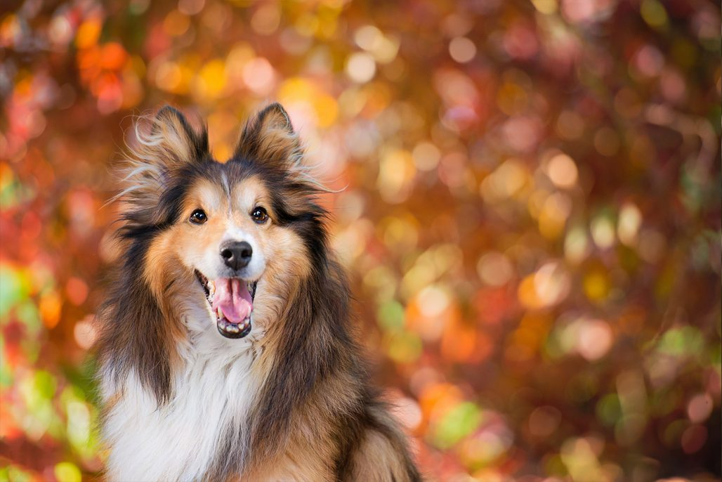 Shetland Sheepdog in summer colours