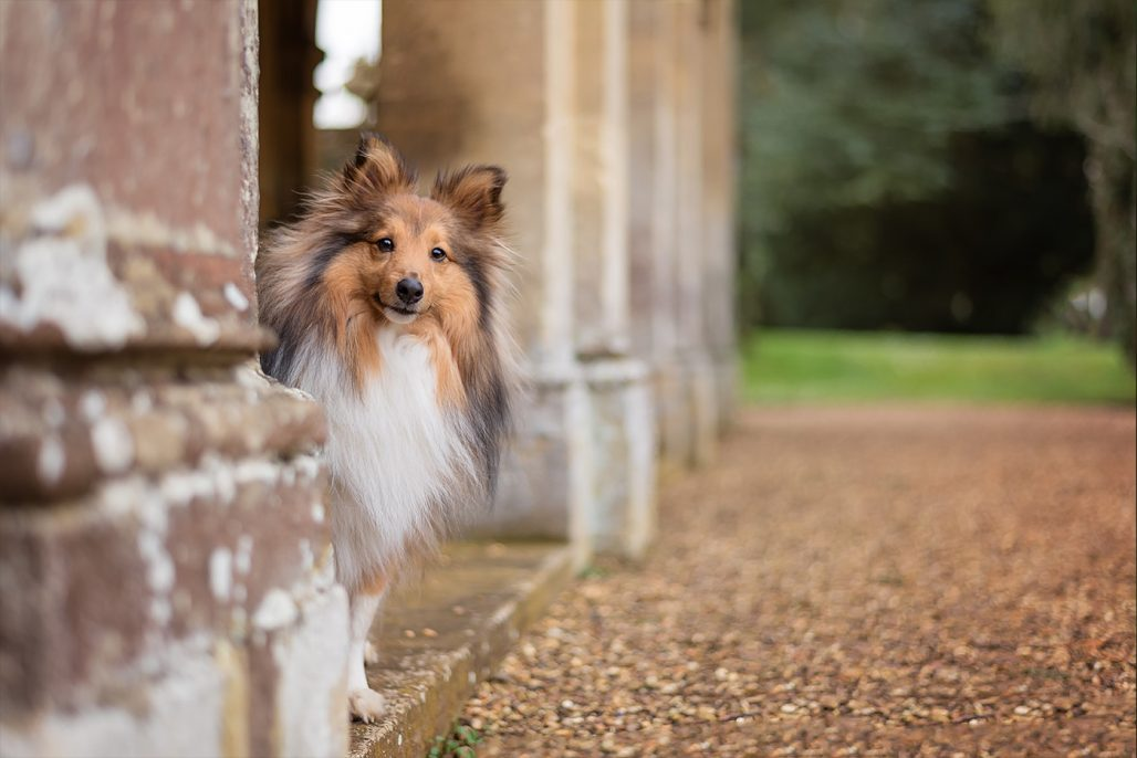 shetland sheepdog peeking out behind pillars
