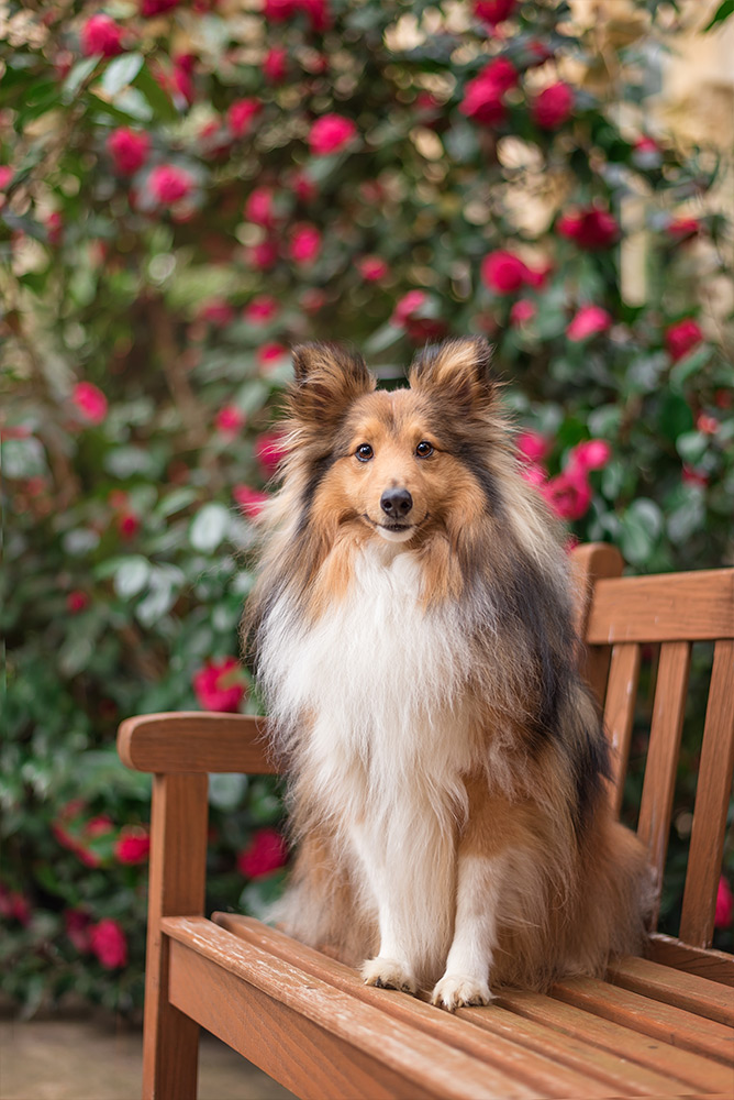 shetland sheepdog sitting on bench with roses