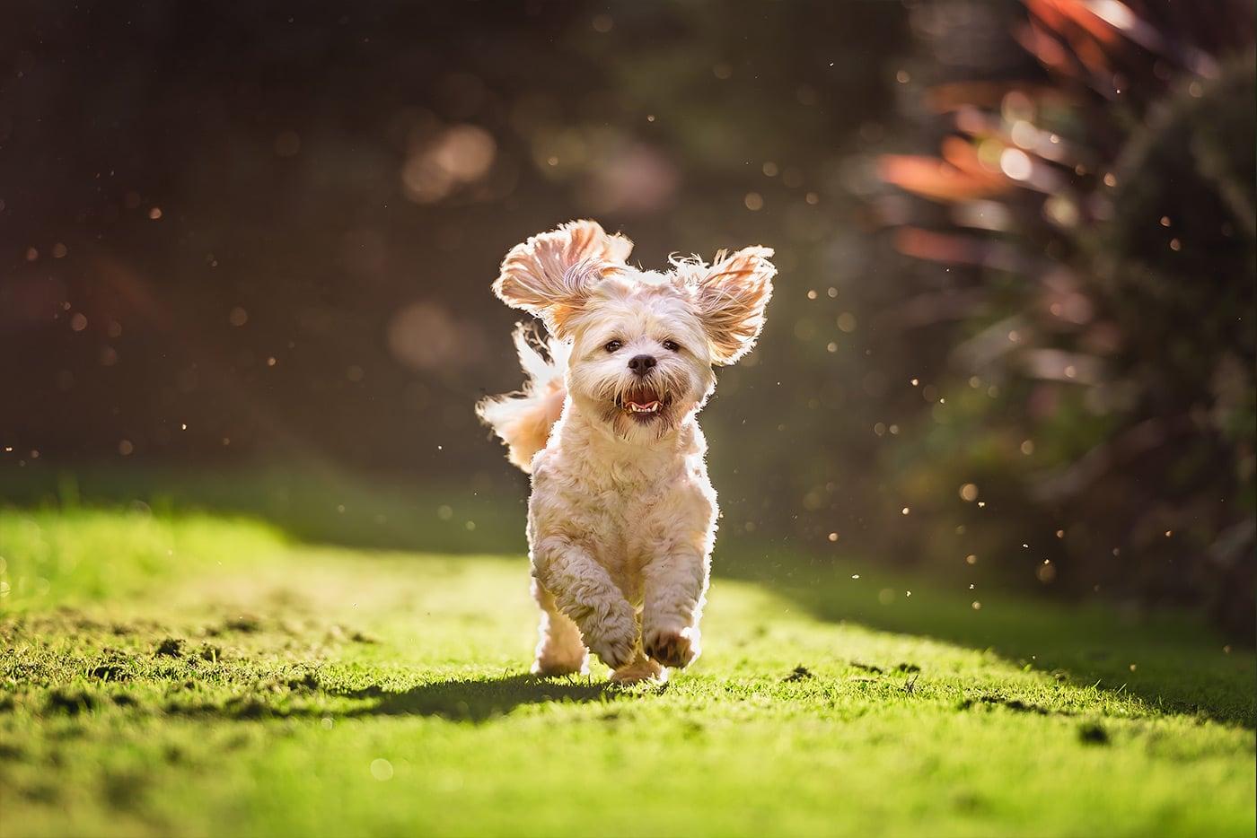 shih tzu puppy running in garden