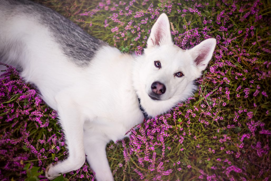 siberian husky cross laying in purple heather