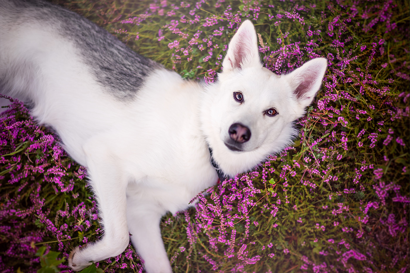 siberian-husky-cross-laying-in-purple-heather