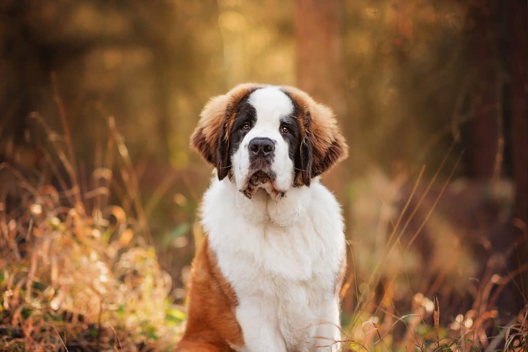 st bernard puppy in northamptonshire woodland