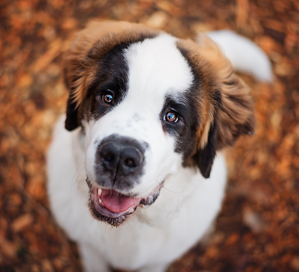 St Bernard Puppy looking at camera during photography session