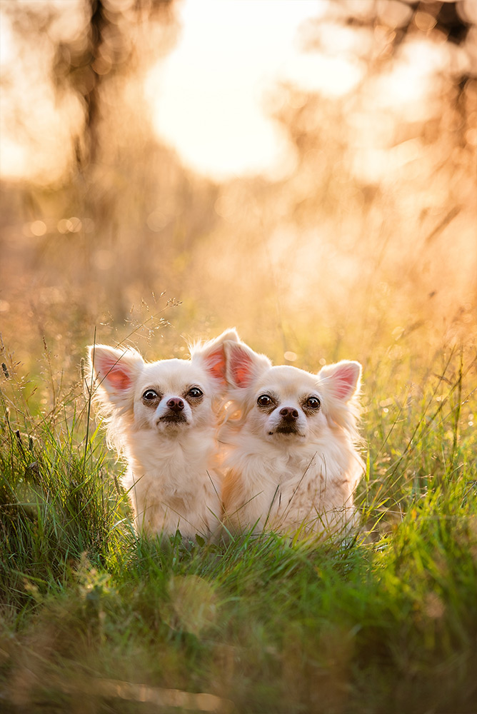 two-long-haired-chihuahuas-sitting-in-tall-grass
