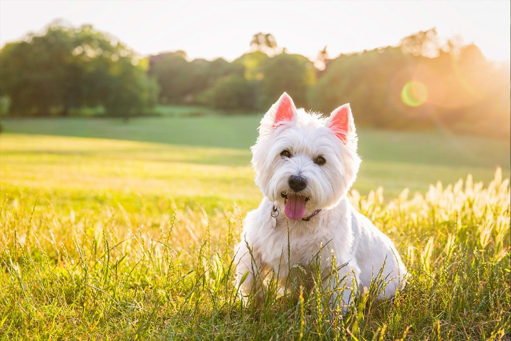 white westie sitting in meadow