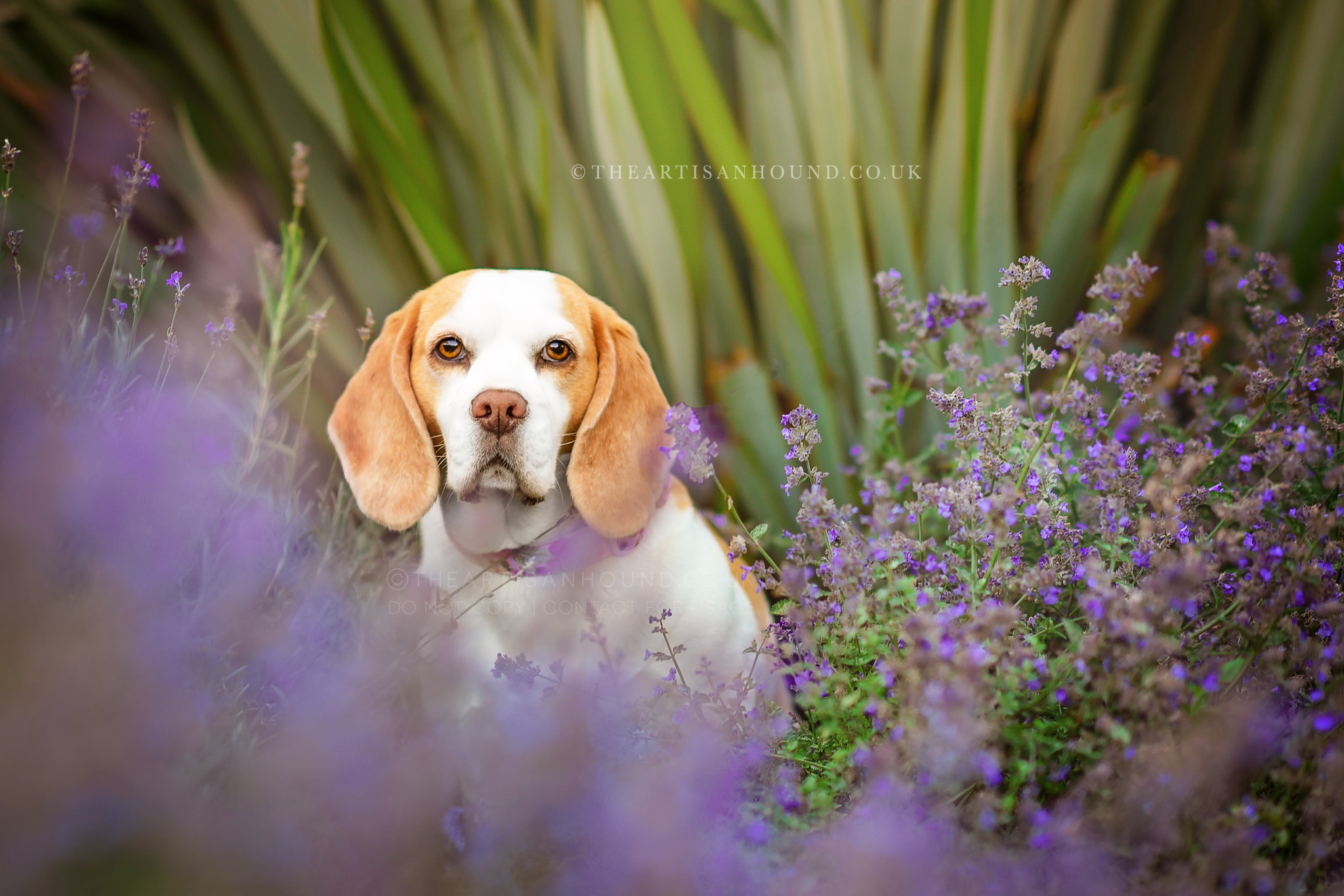 Beagle-standing-in-lavender-patch