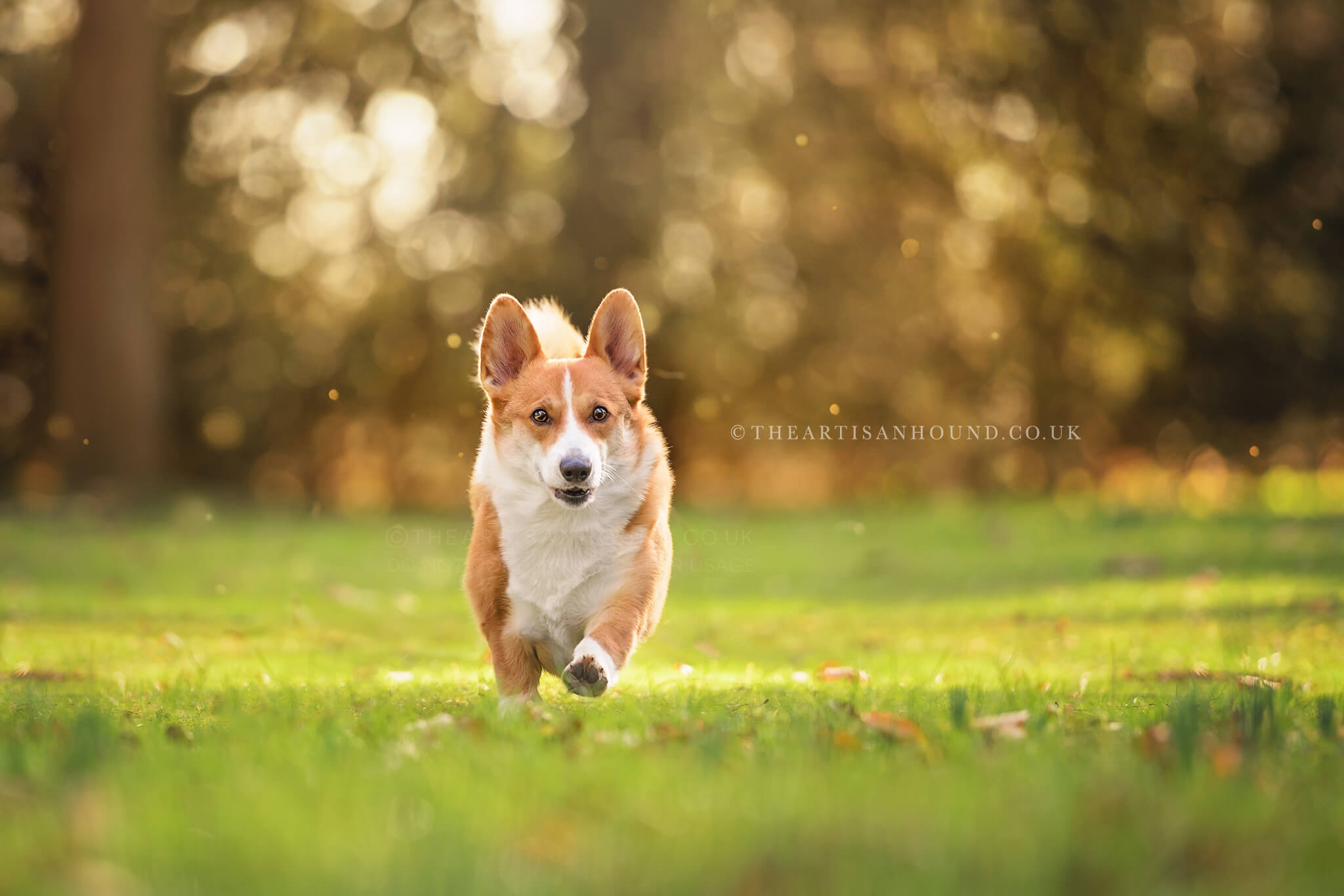 Corgi-dog-running-across-field