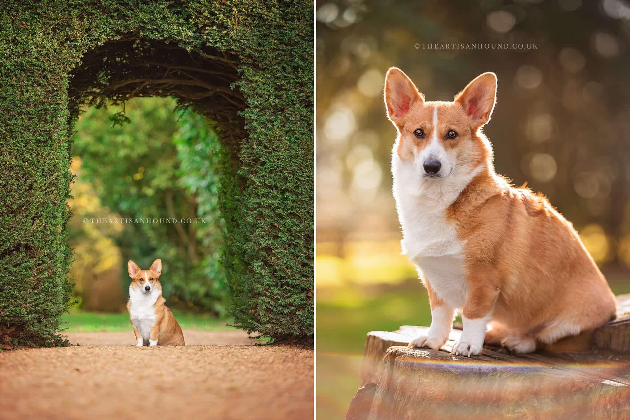 Corgi-dog-sitting-for-photography-session