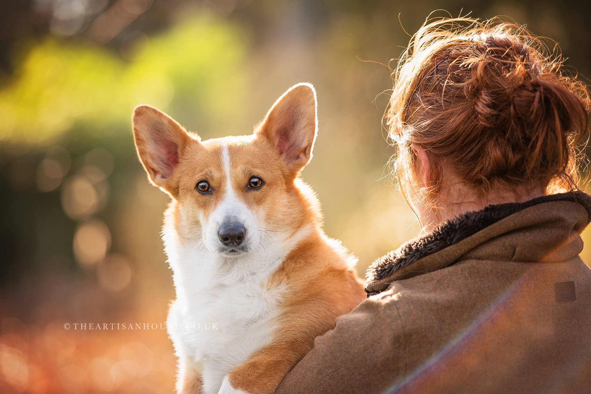 Corgi in arms of female owner