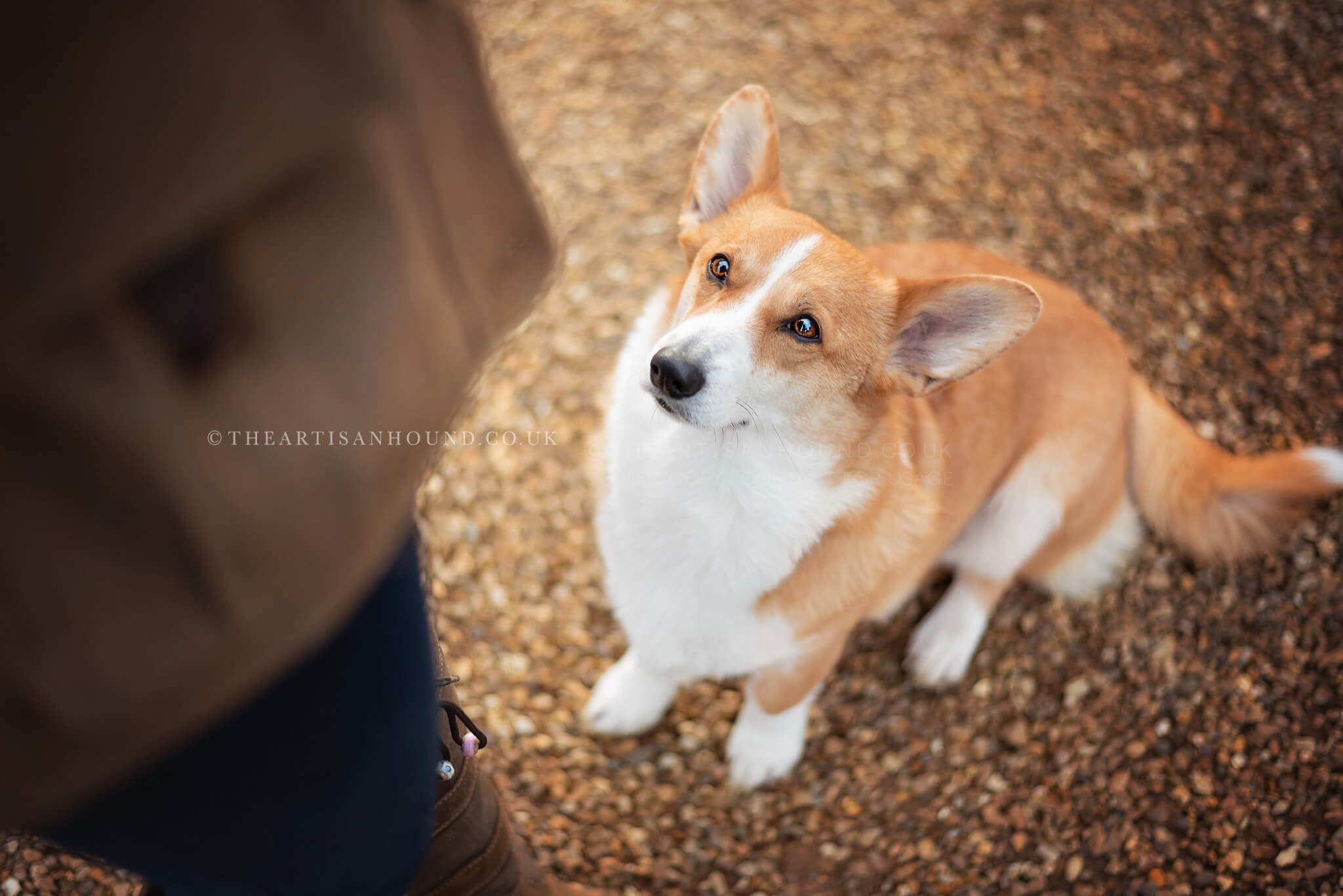 Corgi-looking-up-at-owner