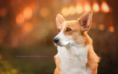 CELEBRATING THE CORGI | GLADYS AT CASTLE ASHBY