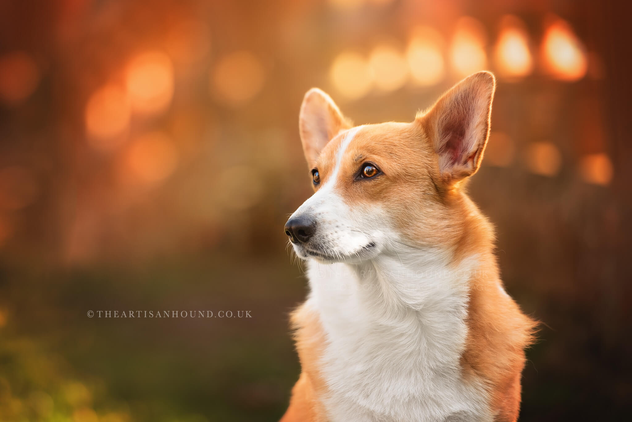 Corgi portrait photography