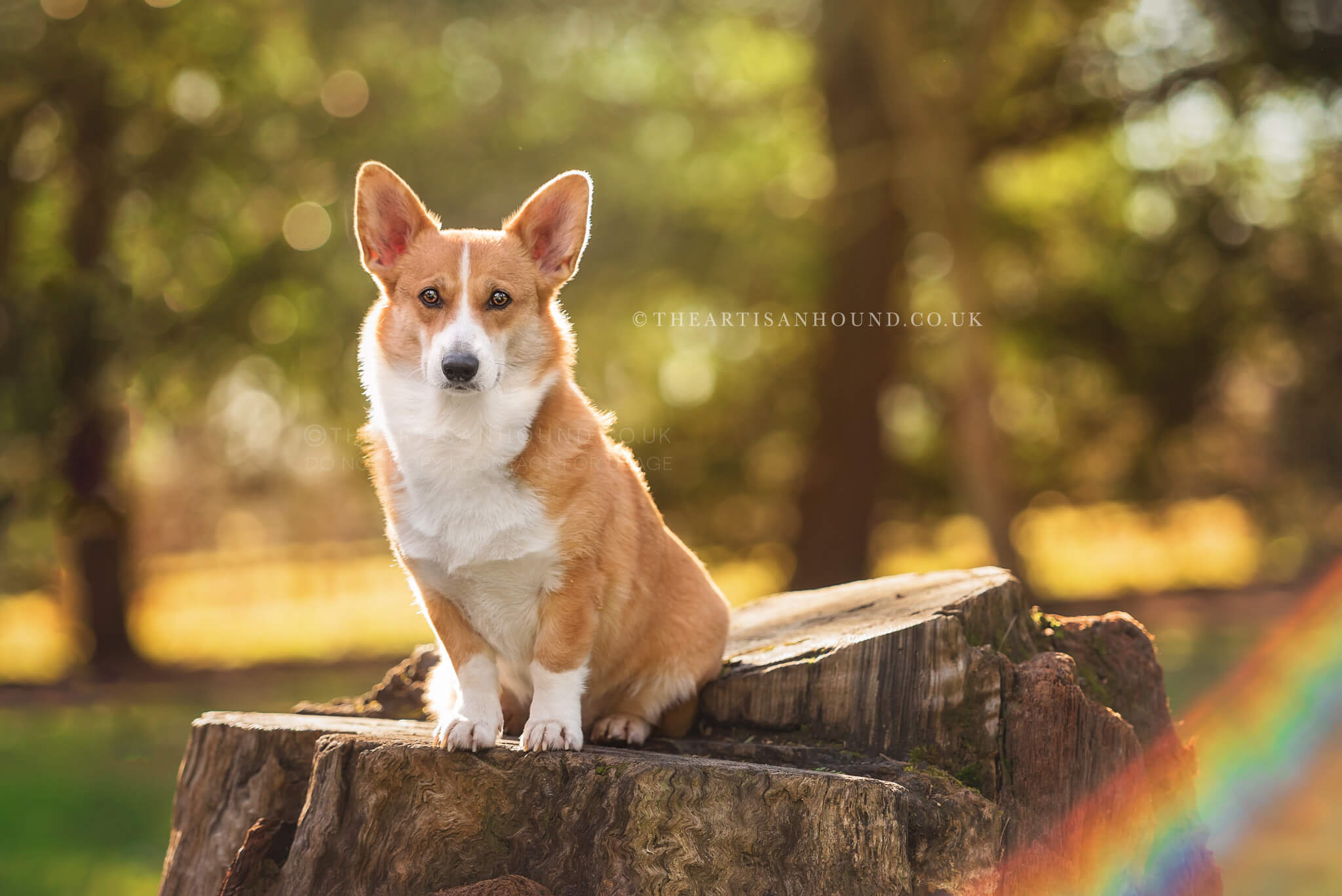 Corgi-sitting-on-log-in-park