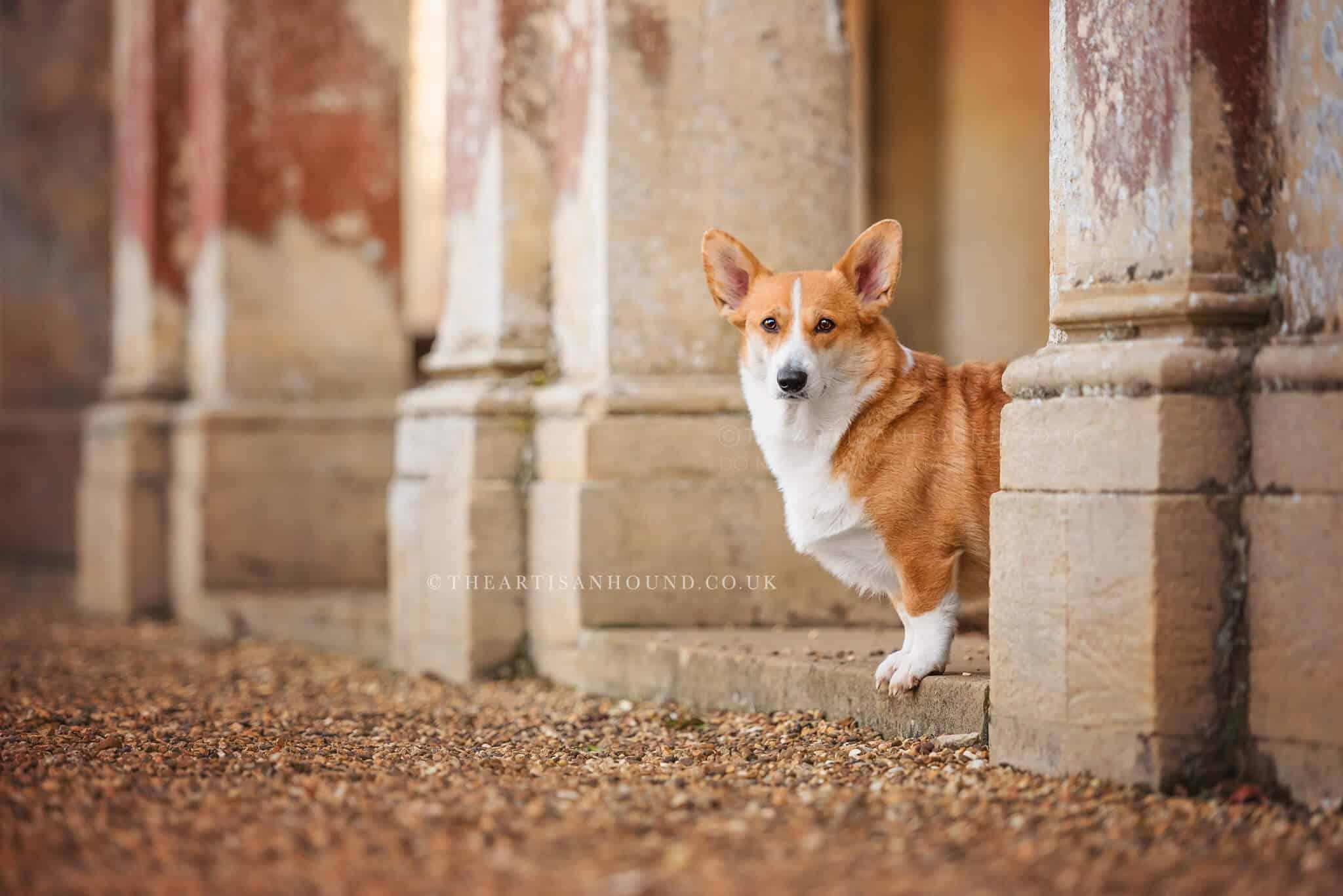 Corgi standing by column at castle ashby