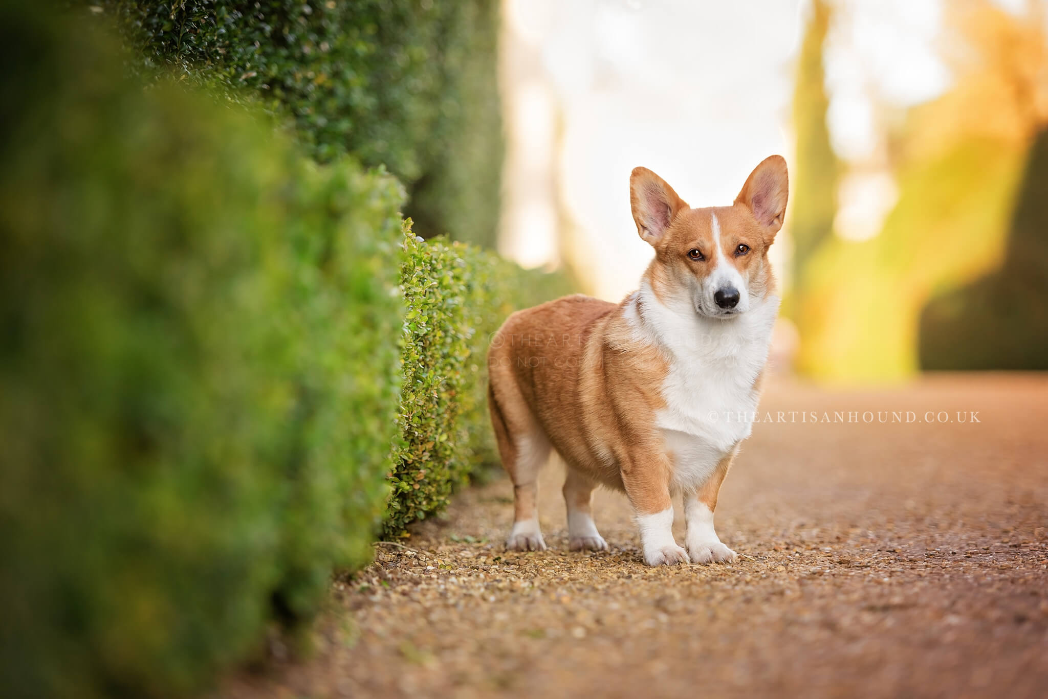 Corgi-standing-on-gravel-next-to-hedge