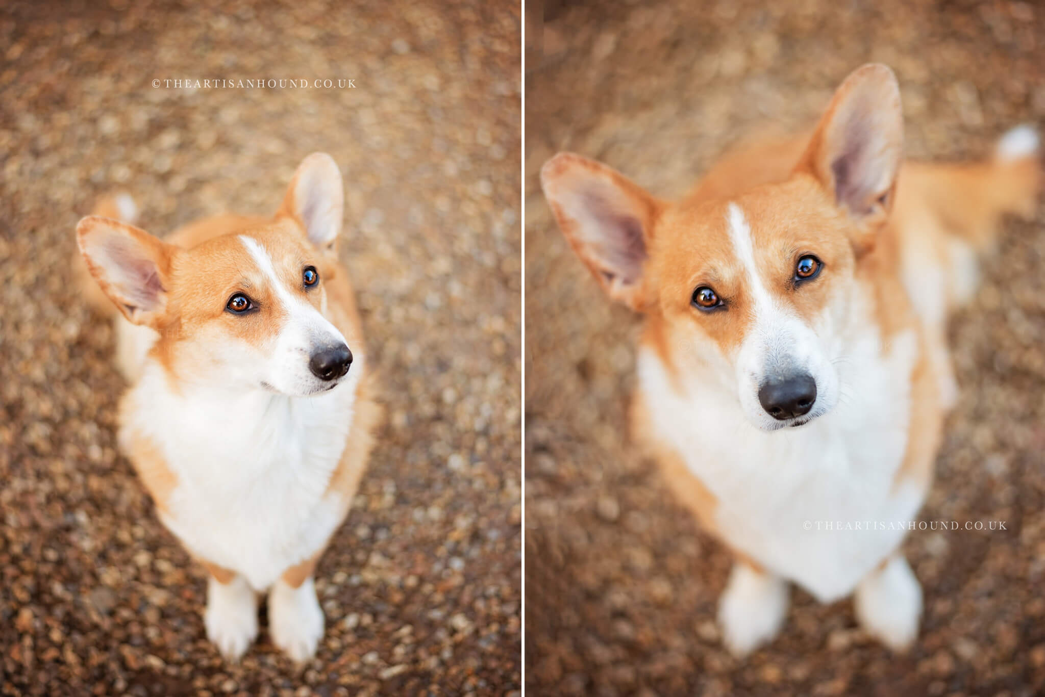 Fine art dog portrait photography in Northampton