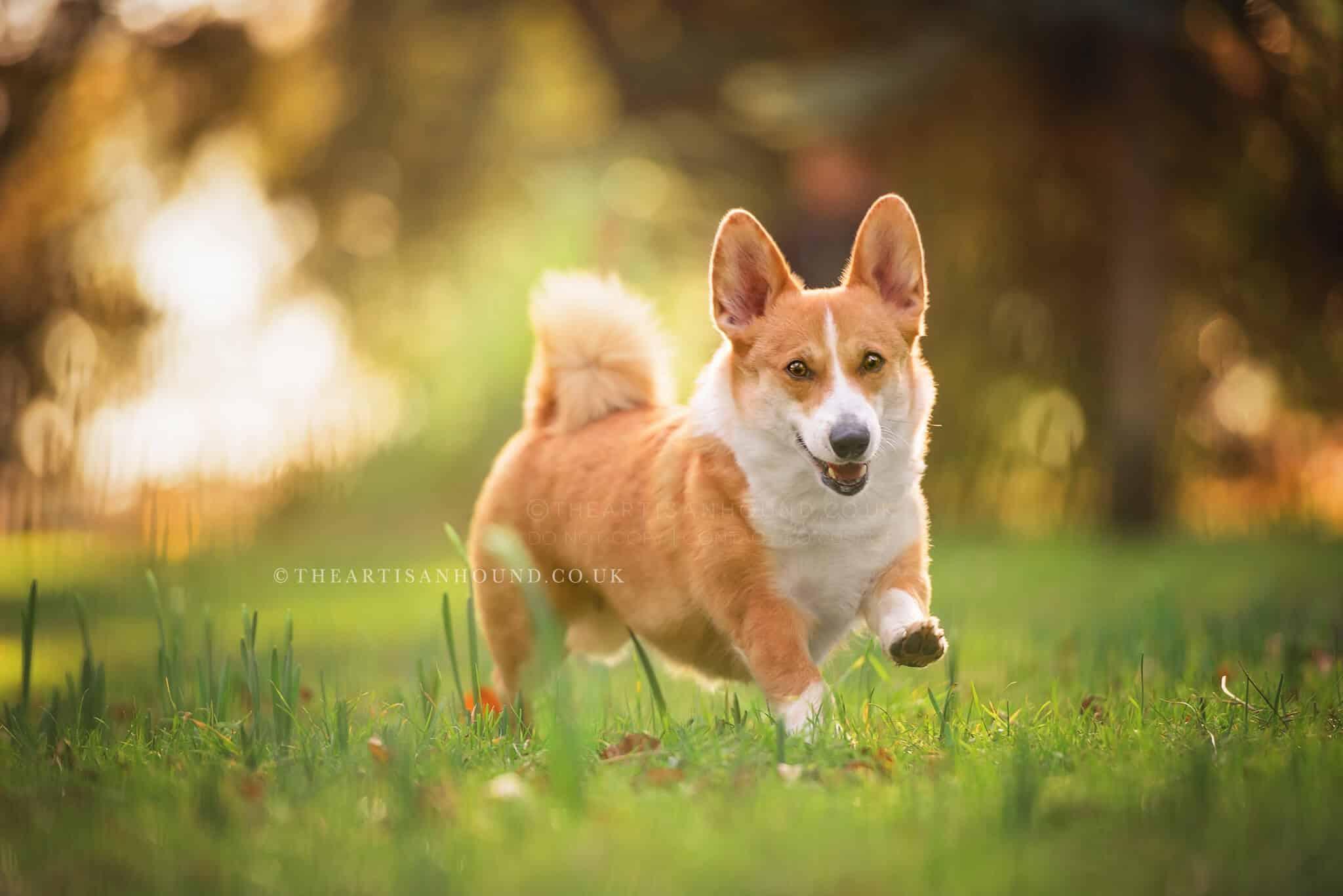 Happy corgi running across sunny field