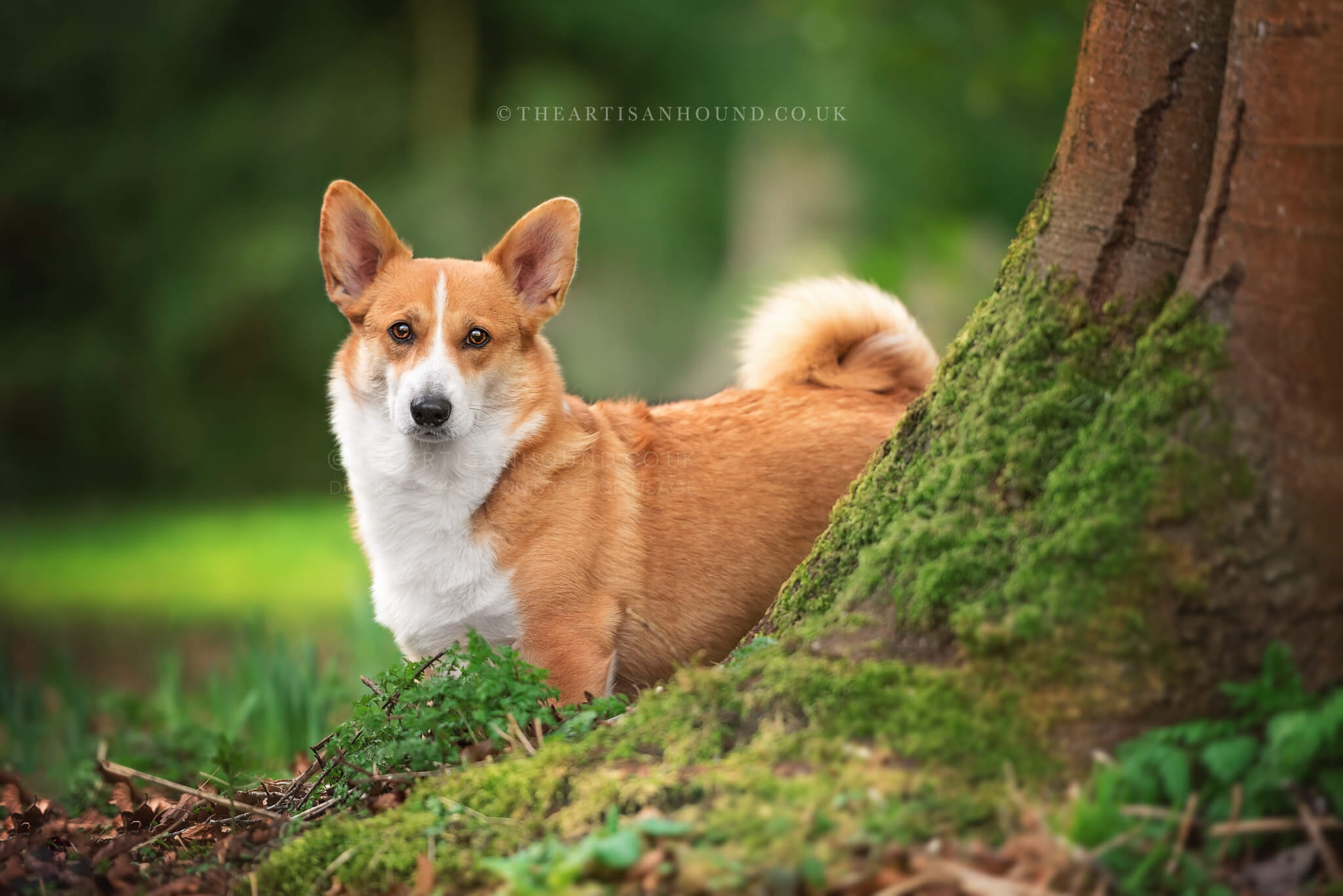 Red and white corgi standing behind tree