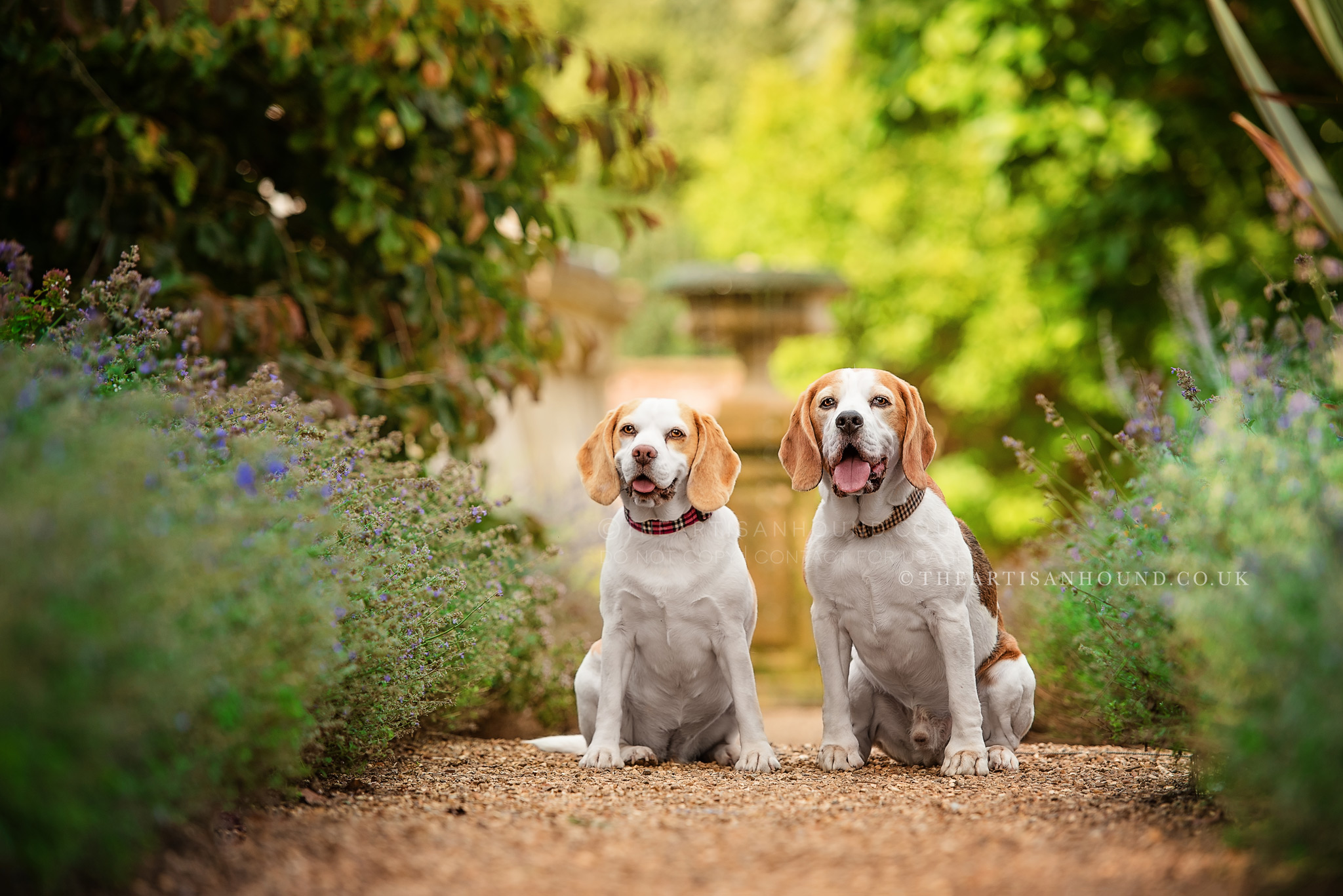 Two-Beagles-sitting-on-pathway