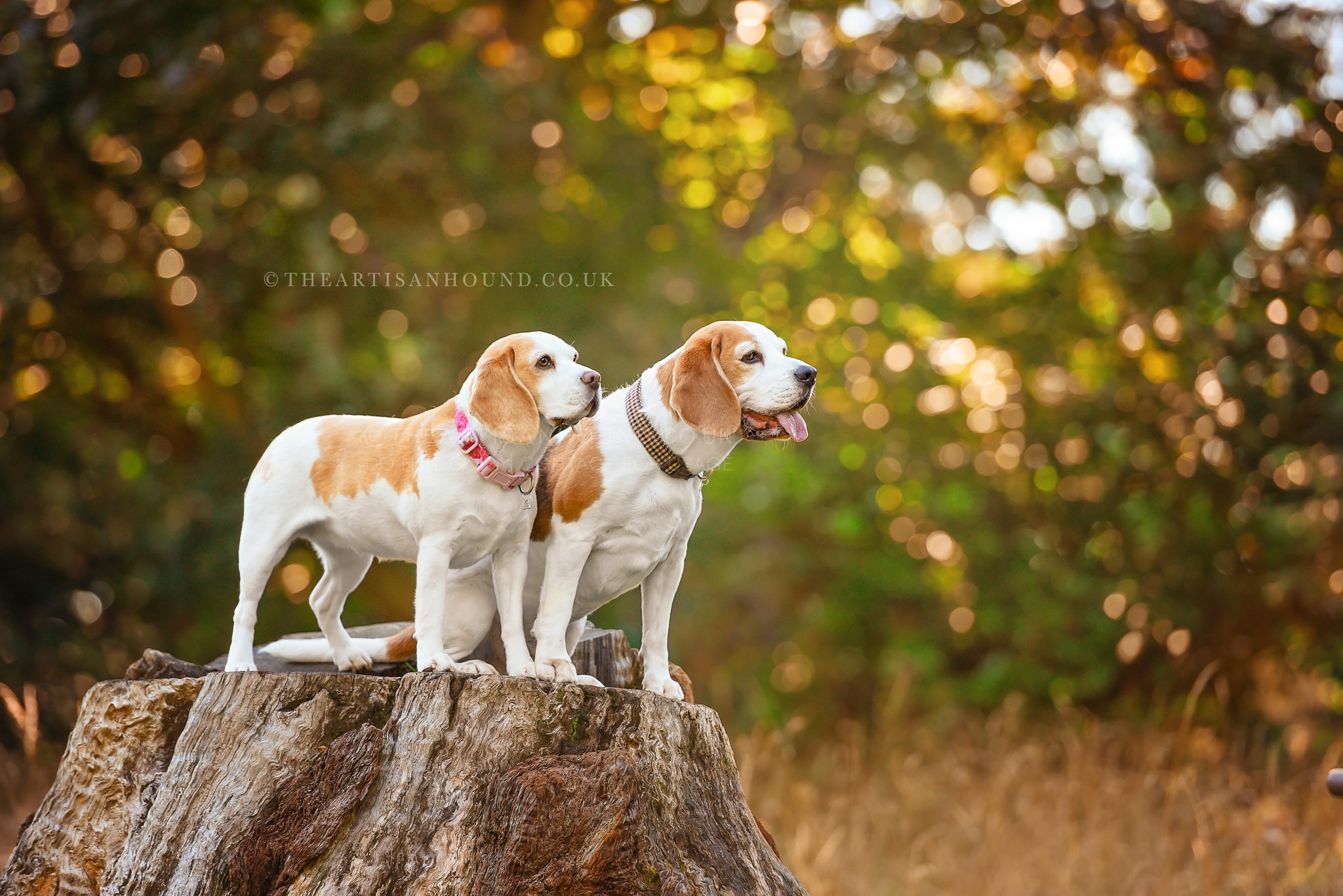 Two-Beagles-standing-on-tree-stump