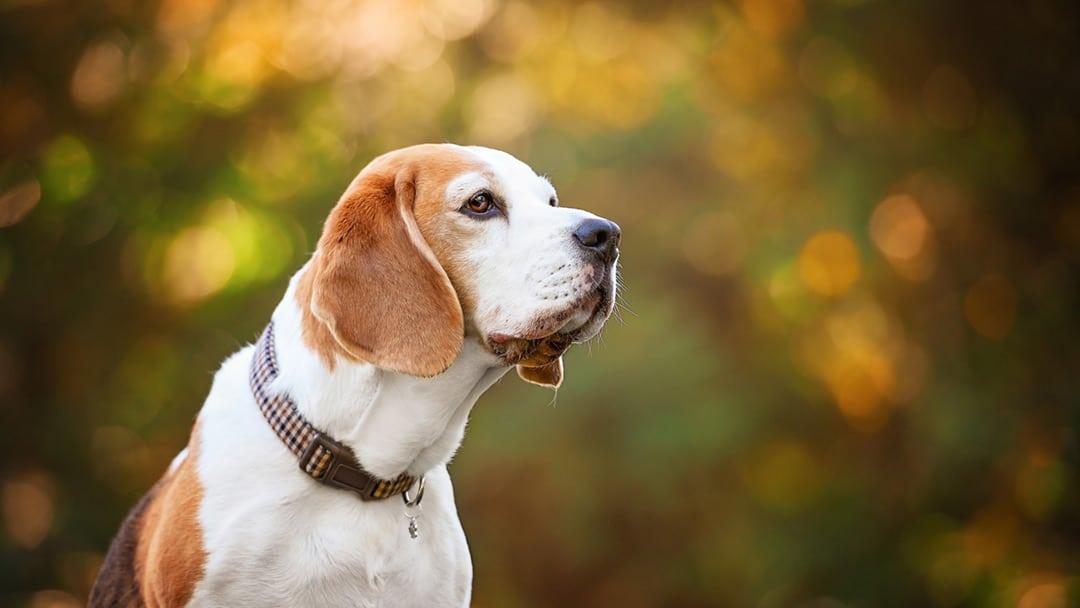 Beagle-dog-photography