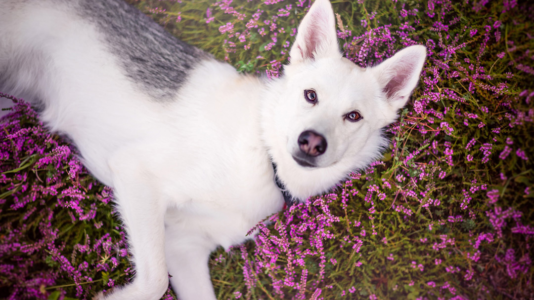 Husky-laying-in-heather