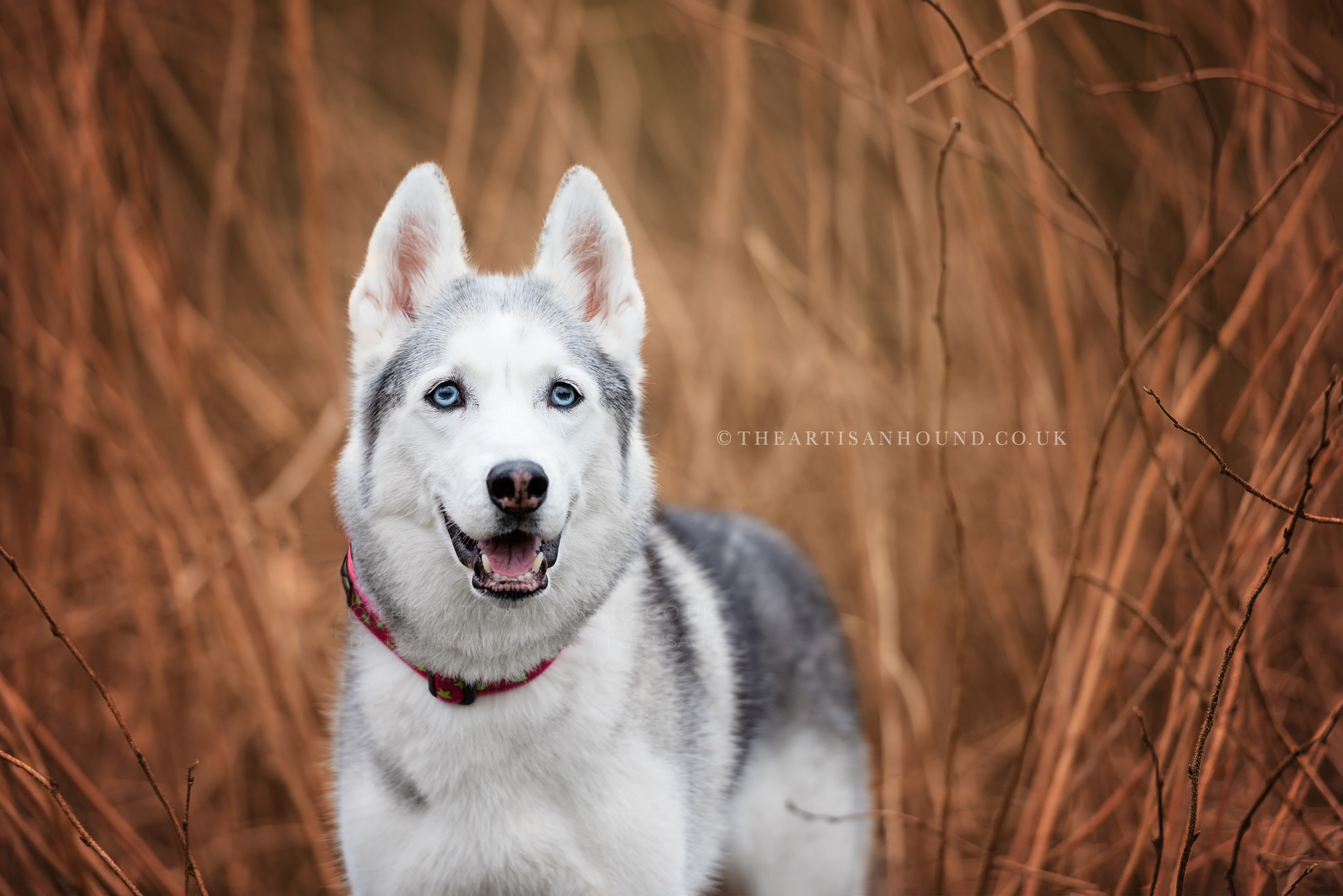 Siberian husky dog standing in tall brown grass