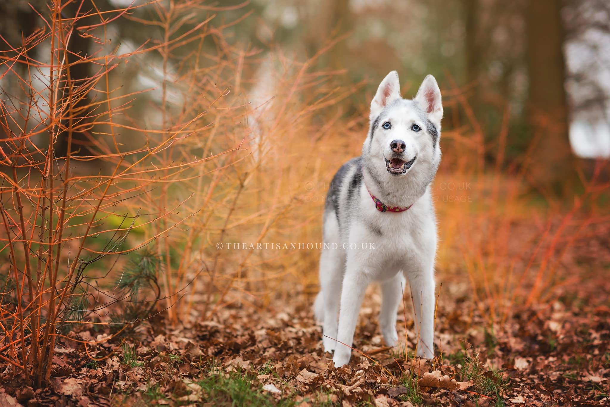 dog-standing-in-autumn-woodlands
