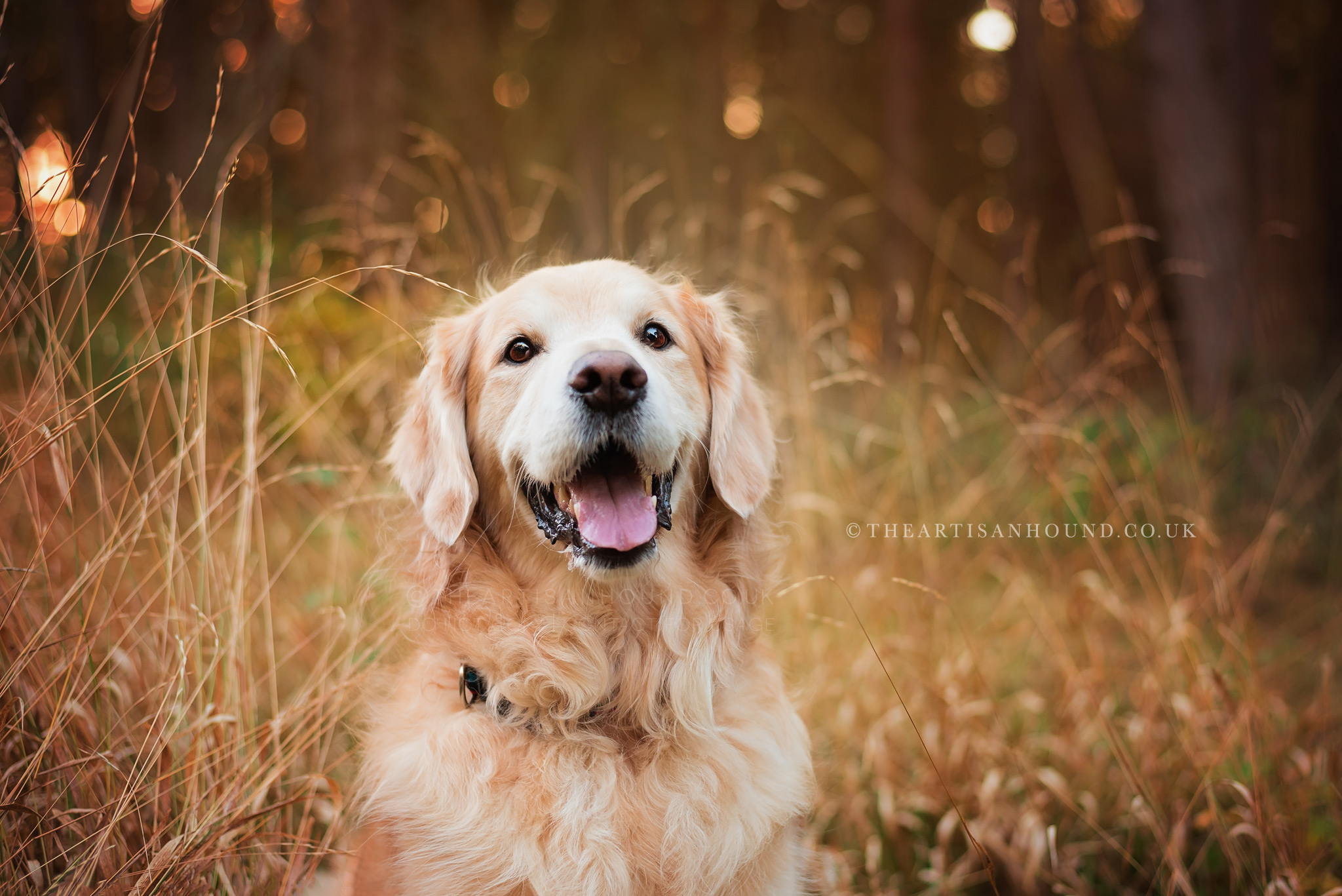 golden retriever sitting in tall autumn grass