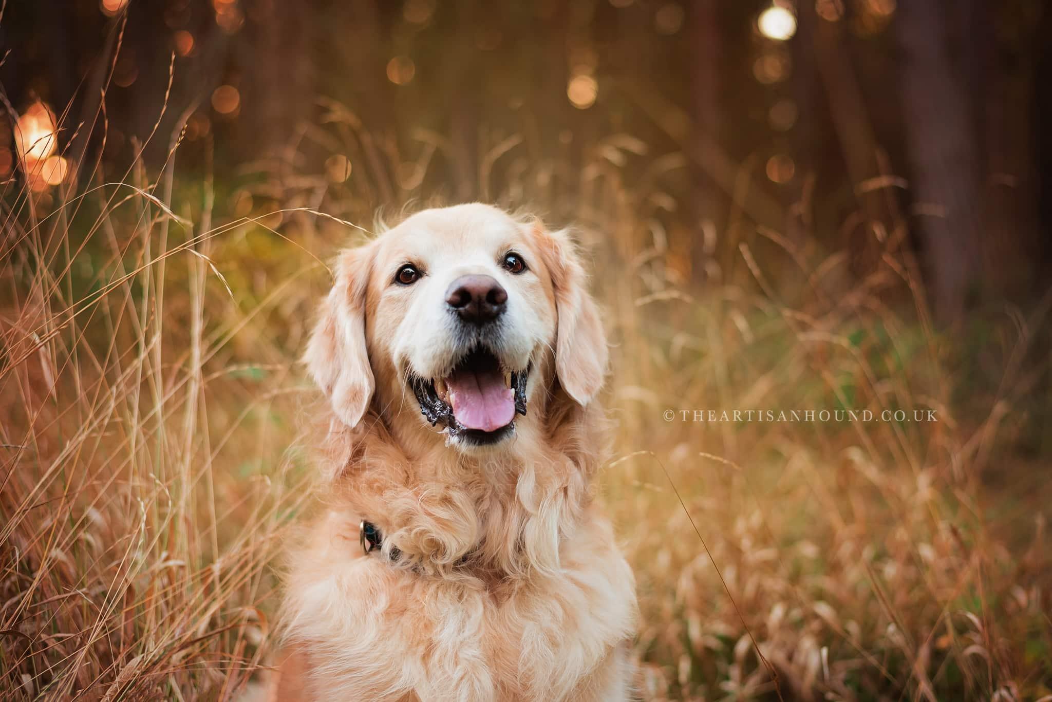 golden retriever sitting in tall autumn grass