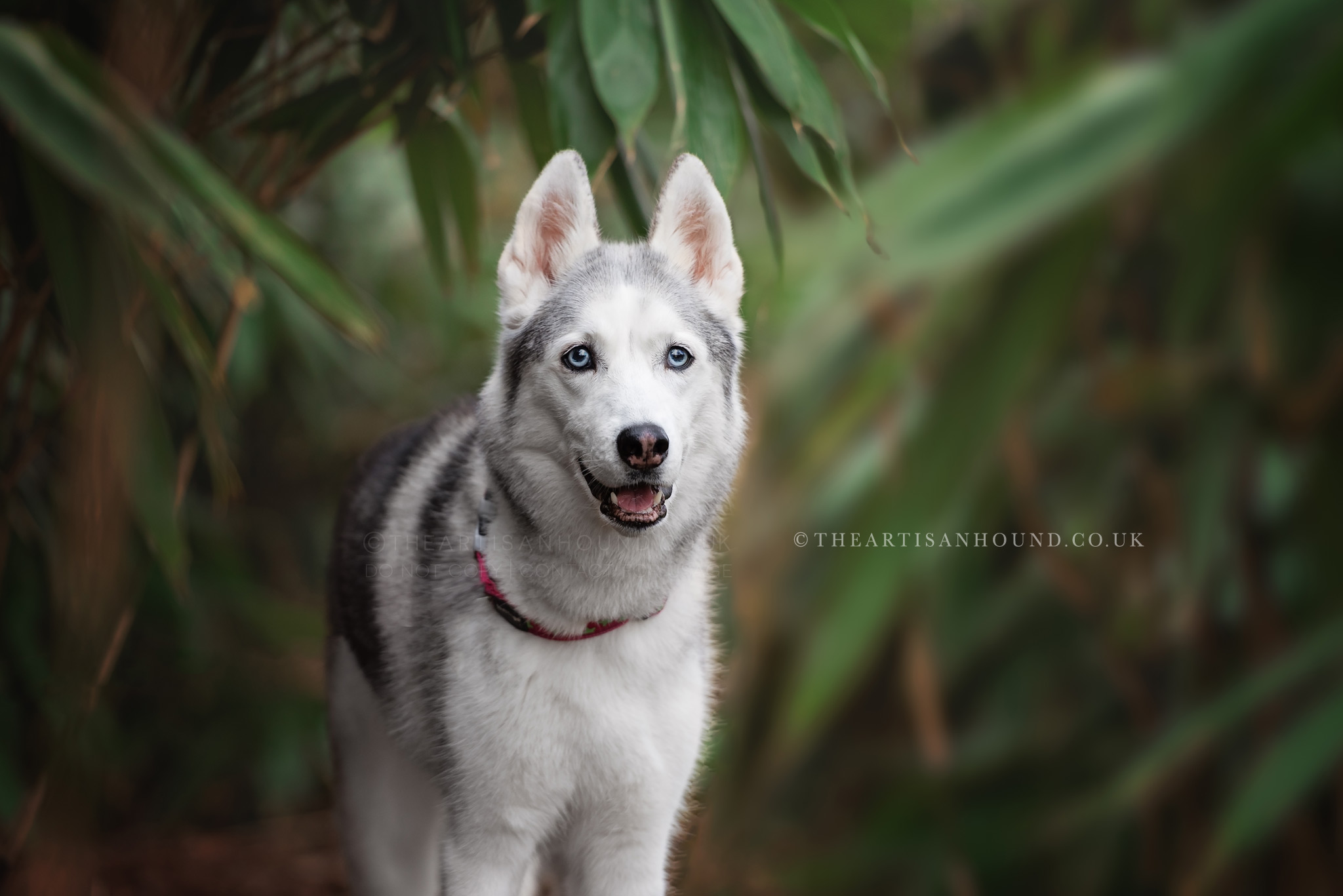 husky-dog-in-green-forest