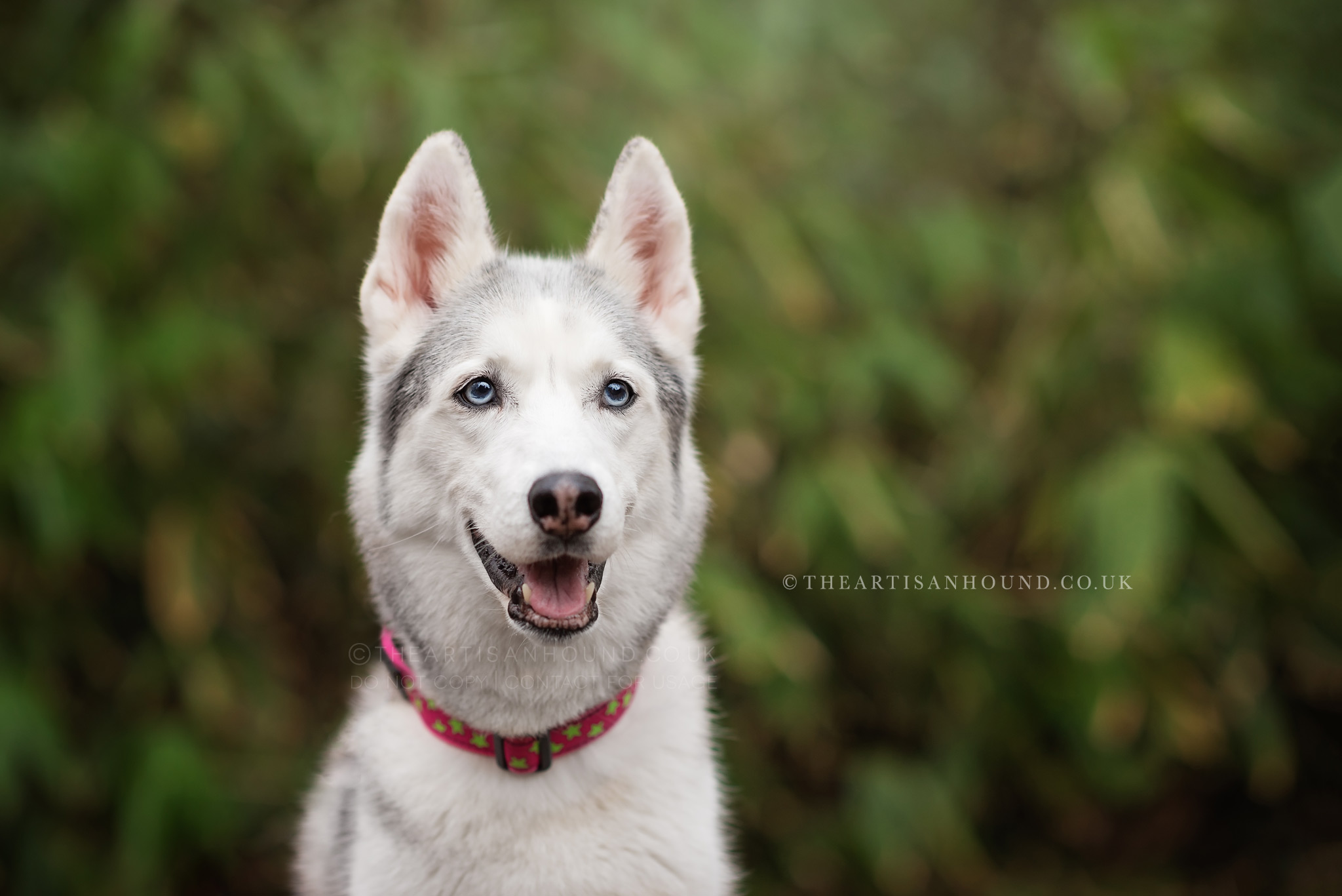 husky-dog-portrait-photography