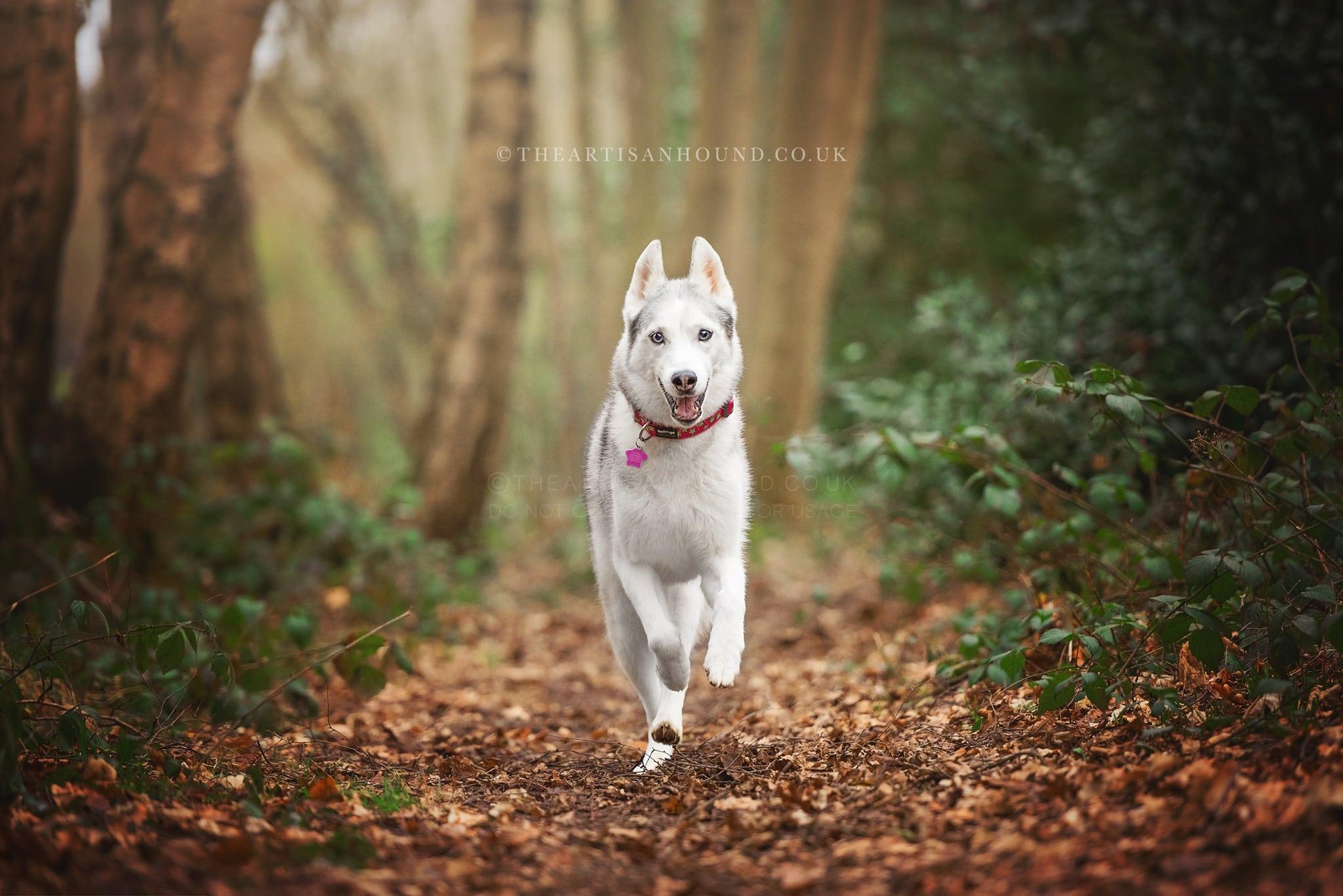husky running through woods