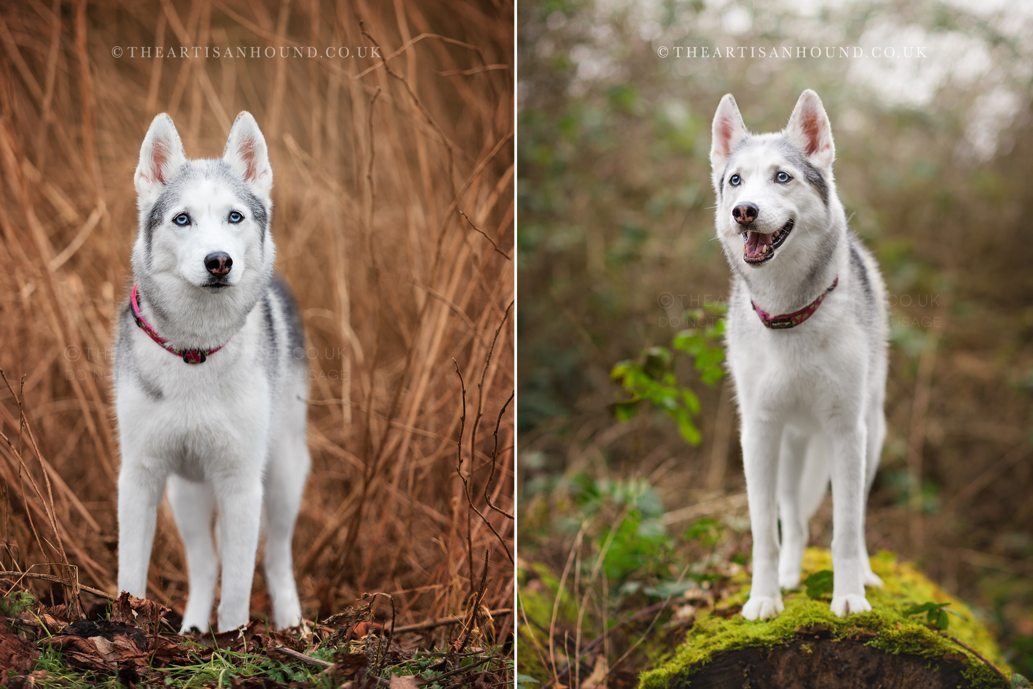 husky-sitting-in-bushes-and-standing-on-log