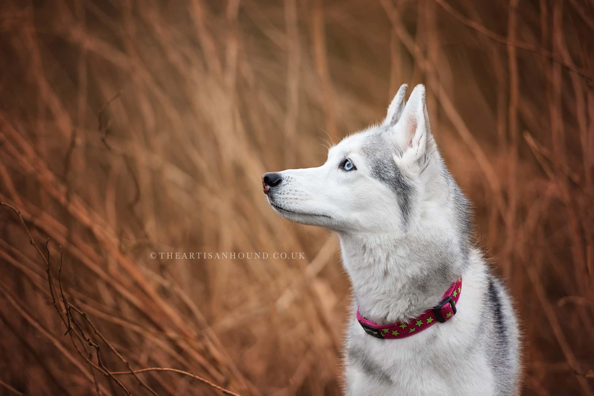 profile-photo-of-siberian-husky
