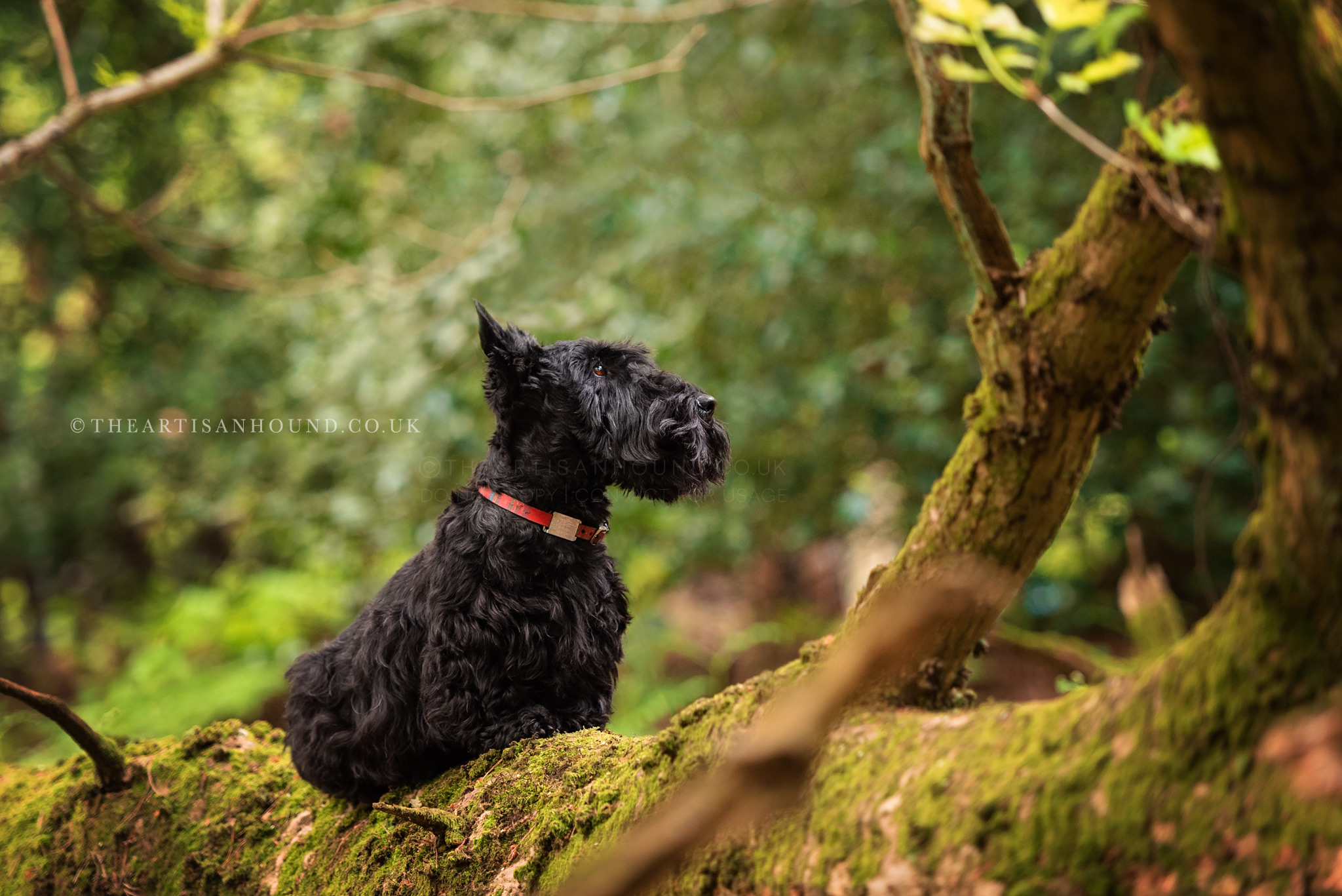 scottish terrier sitting on fallen tree in woods