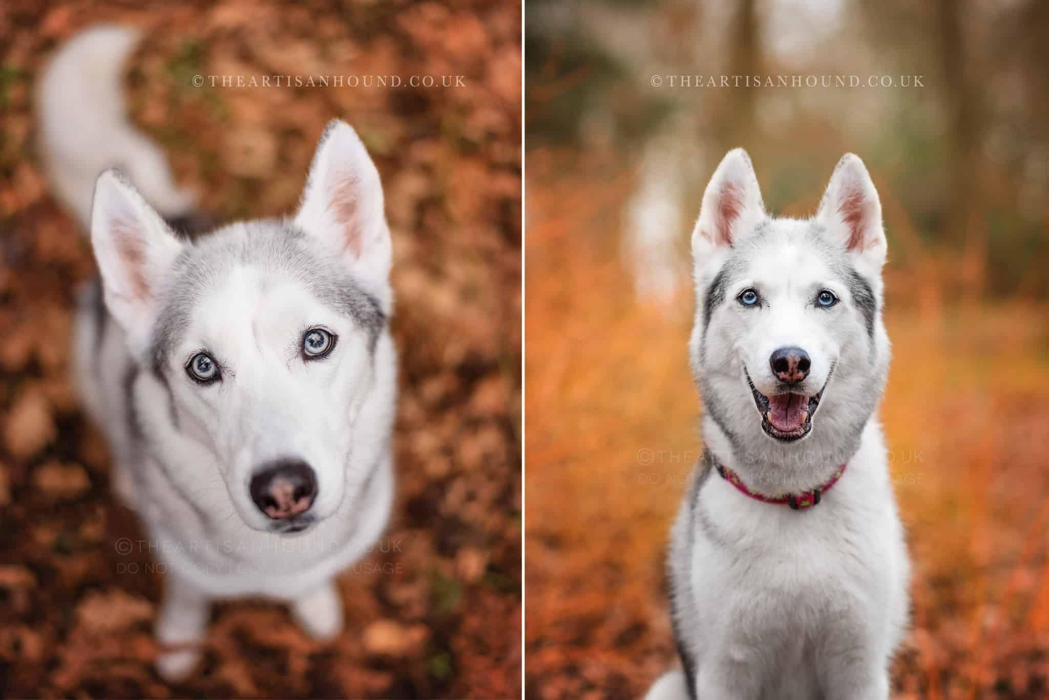 two portraits of siberian husky