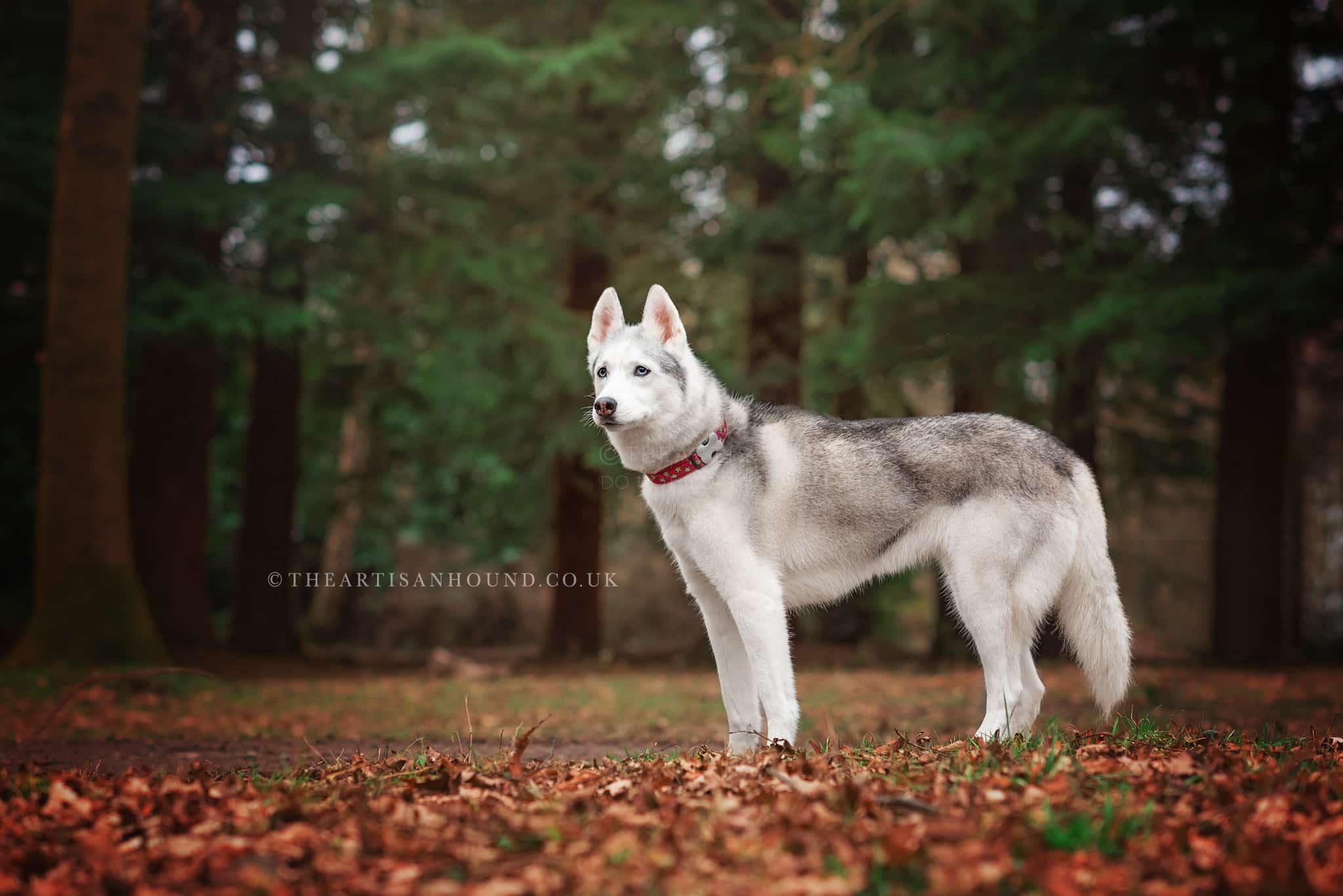 wolf-dog-standing-in-dark-forest