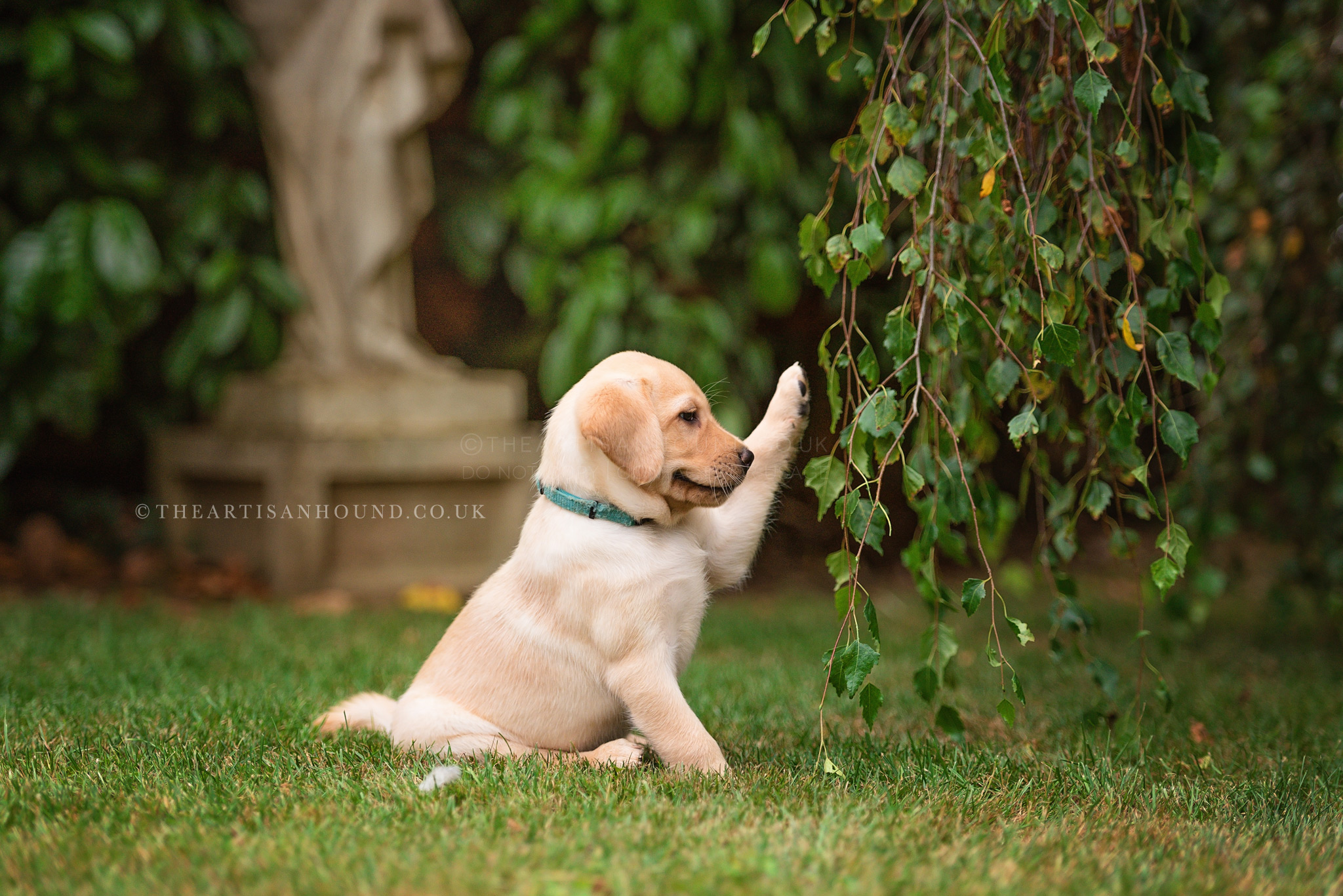 yellow labrador puppy playing with tree leaves