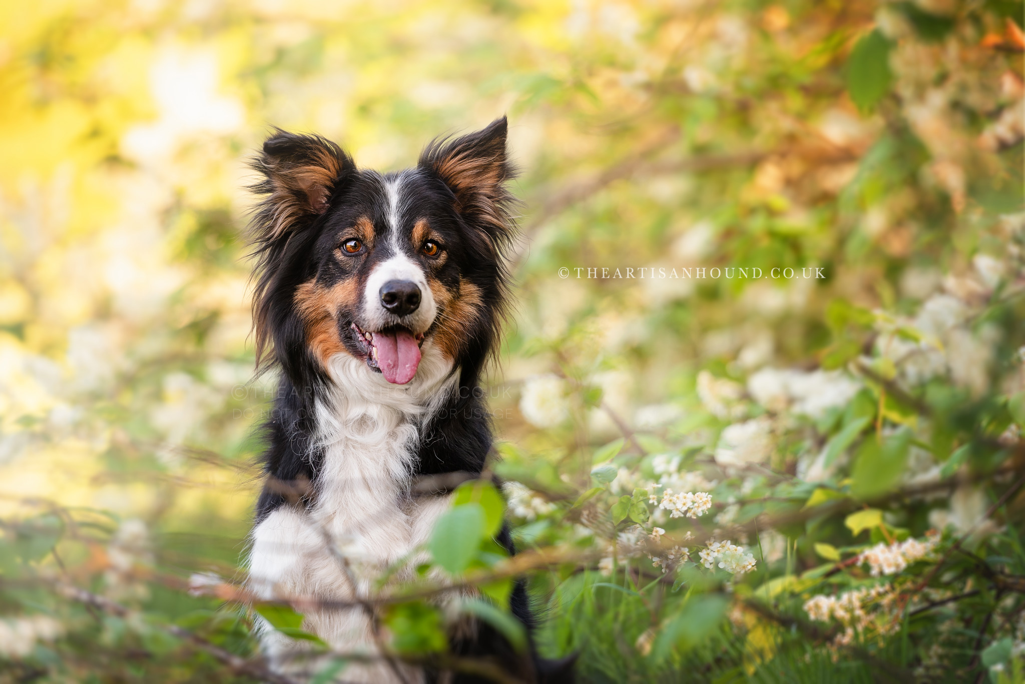 Tri-colour Border Collie sitting in spring blossom