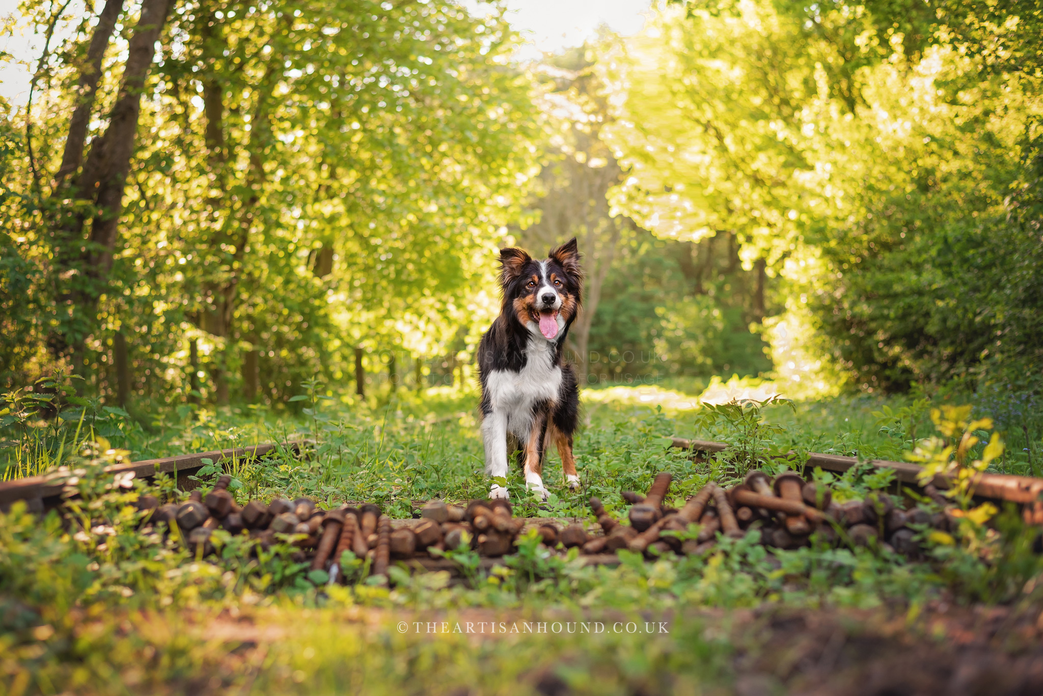 Border Collie standing on abandoned railway in woods