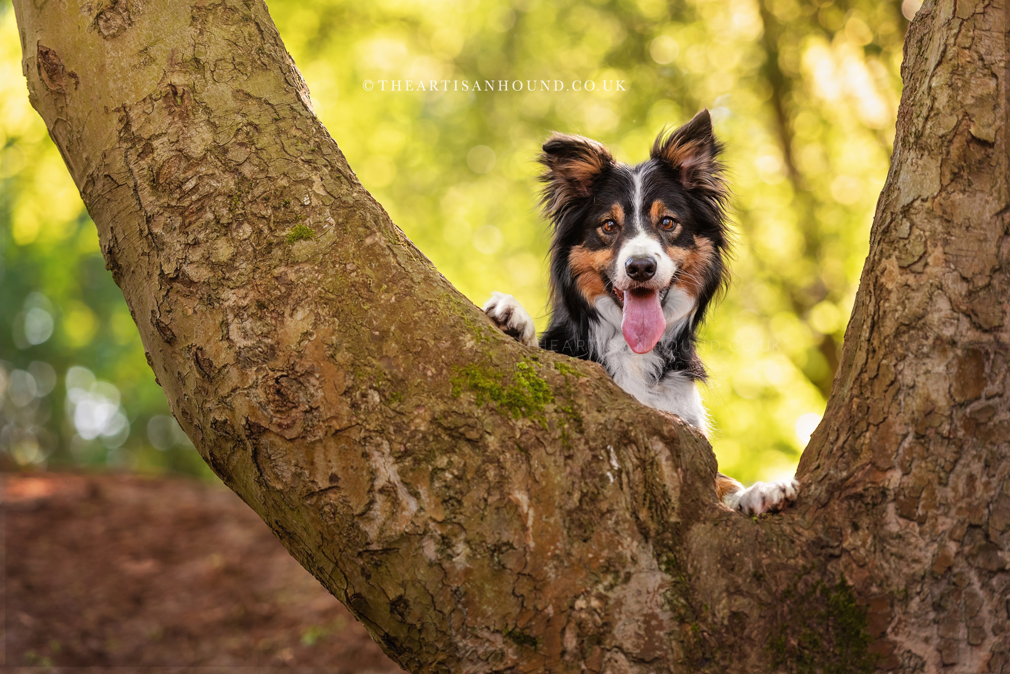 Border Collie dog peeking through gap in tree