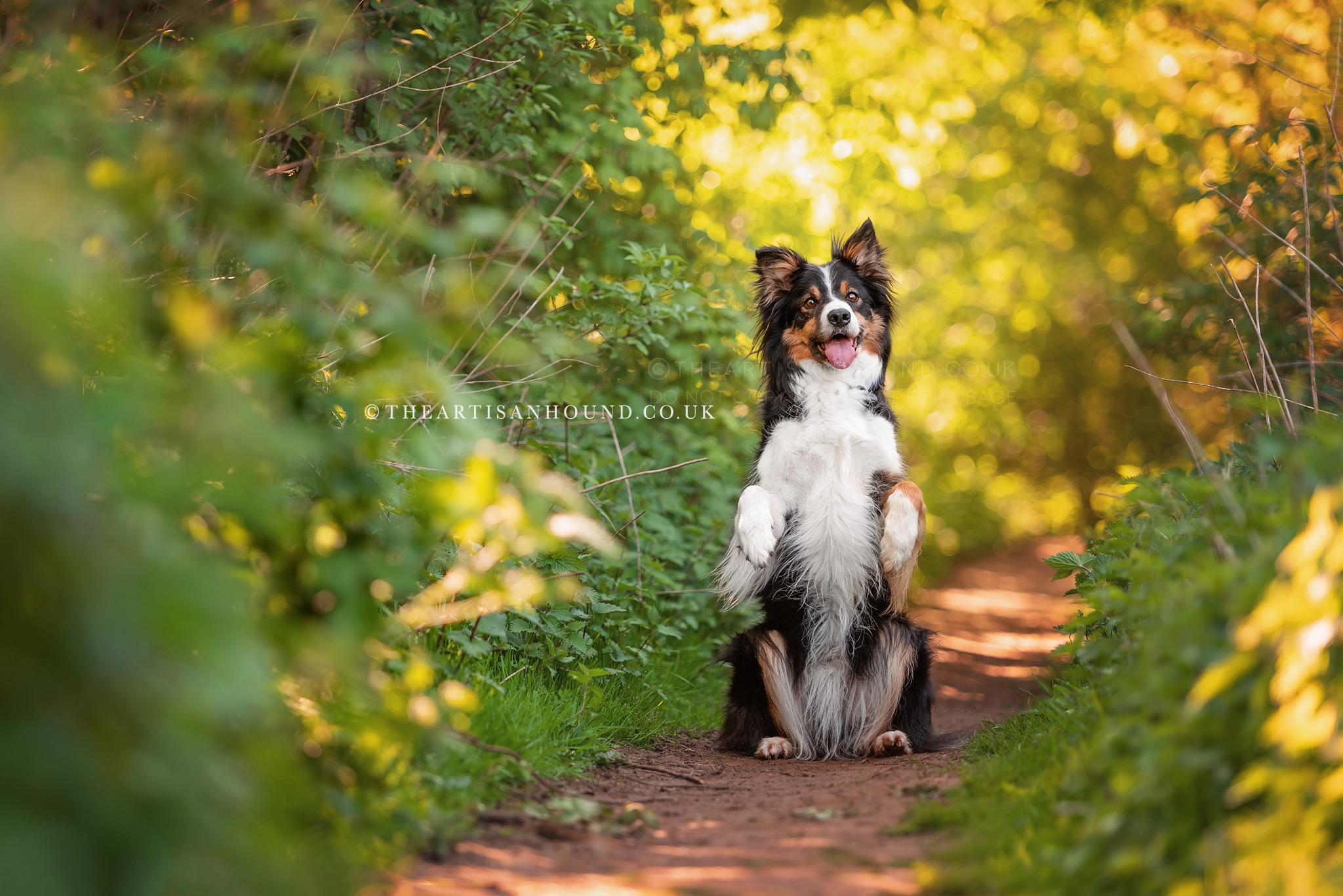 Border Collie dog sitting and begging in narrow country lane