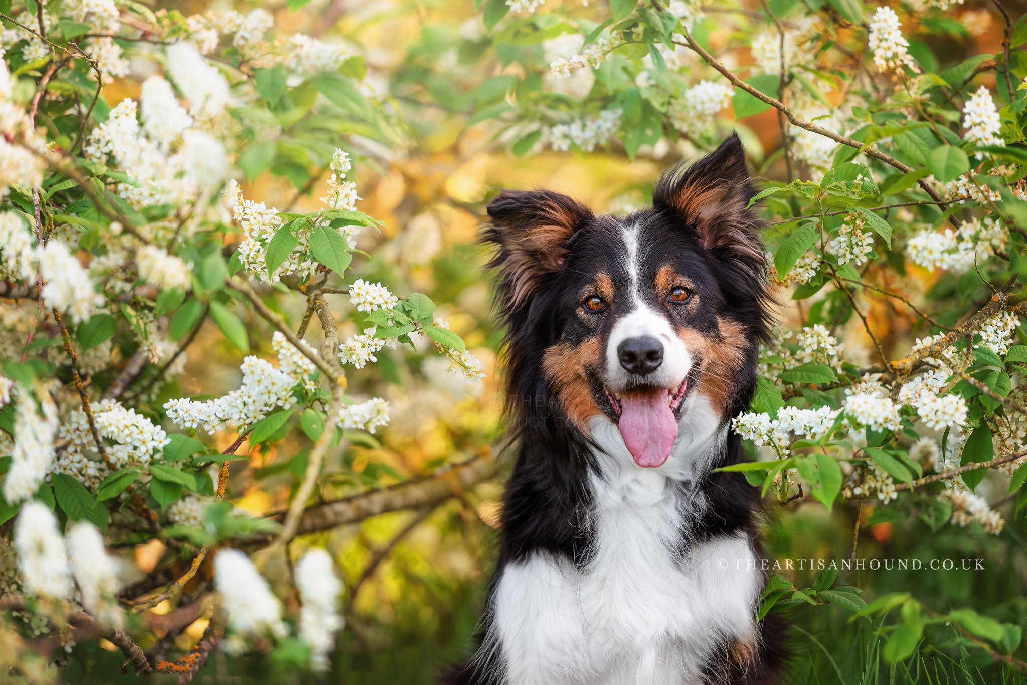 Border Collie sitting under blossom tree in Northampton park