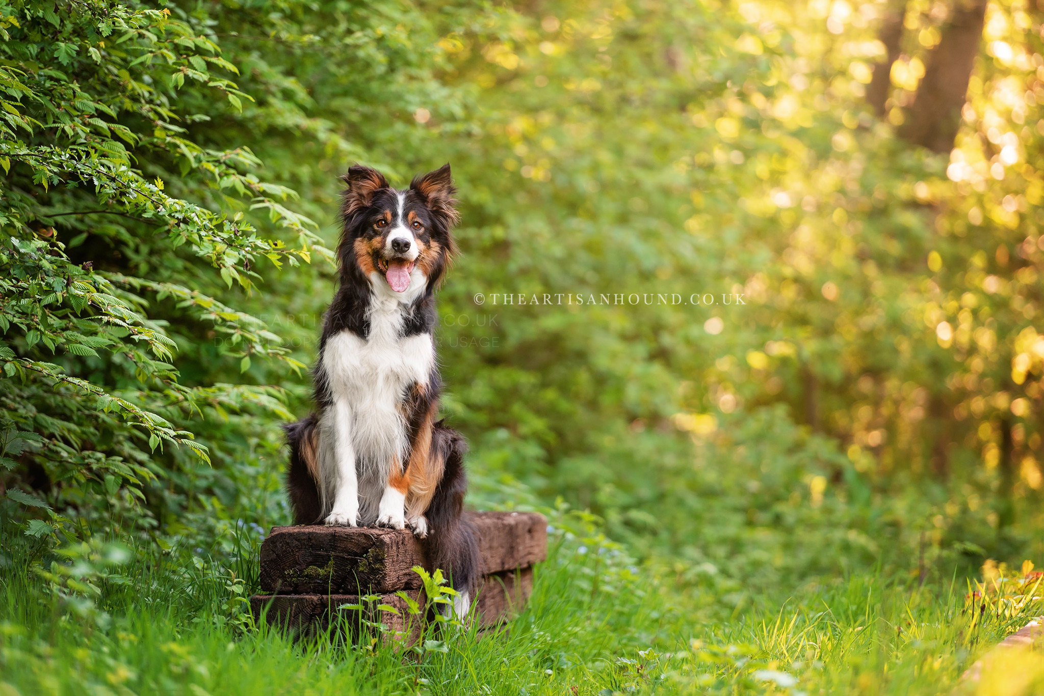 Border Collie dog sitting on wooden beams under trees