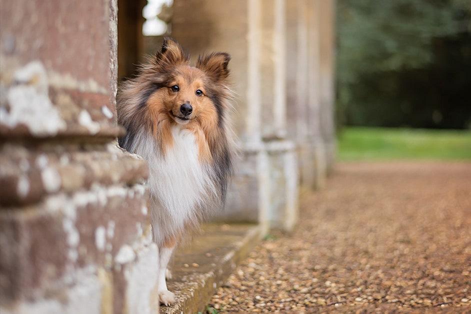 Shetland-Sheepdog-peeking-out-from-pillars-at-stately-home